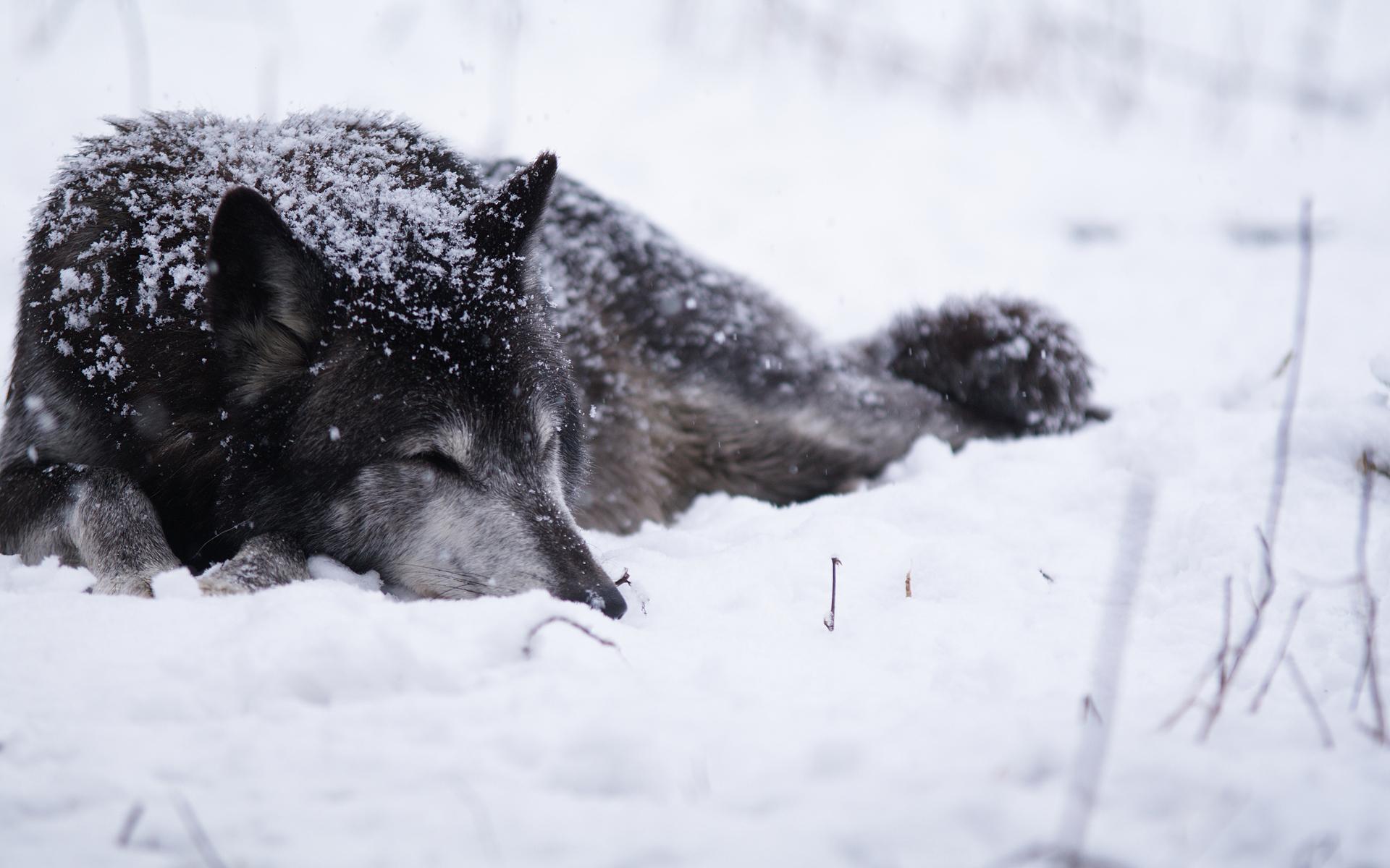 относитесь волк уходит от погони картинки конструкция является