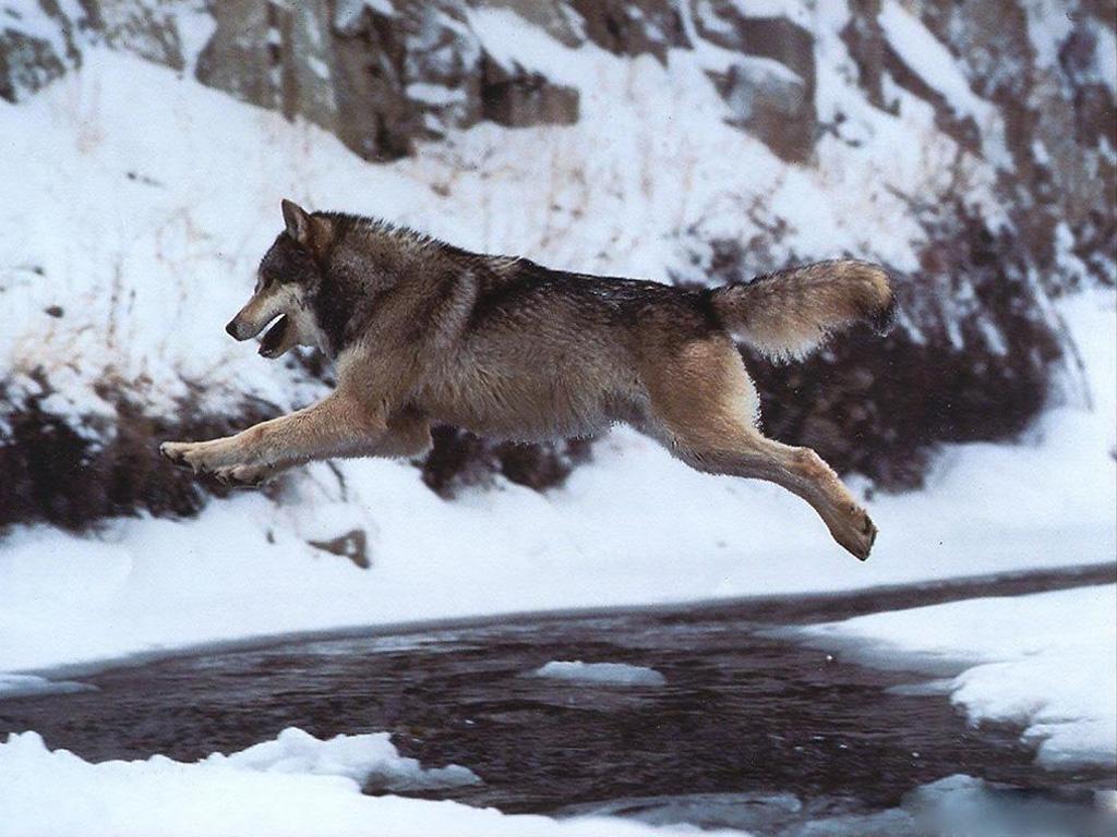 вздумайте волк уходит от погони картинки меня