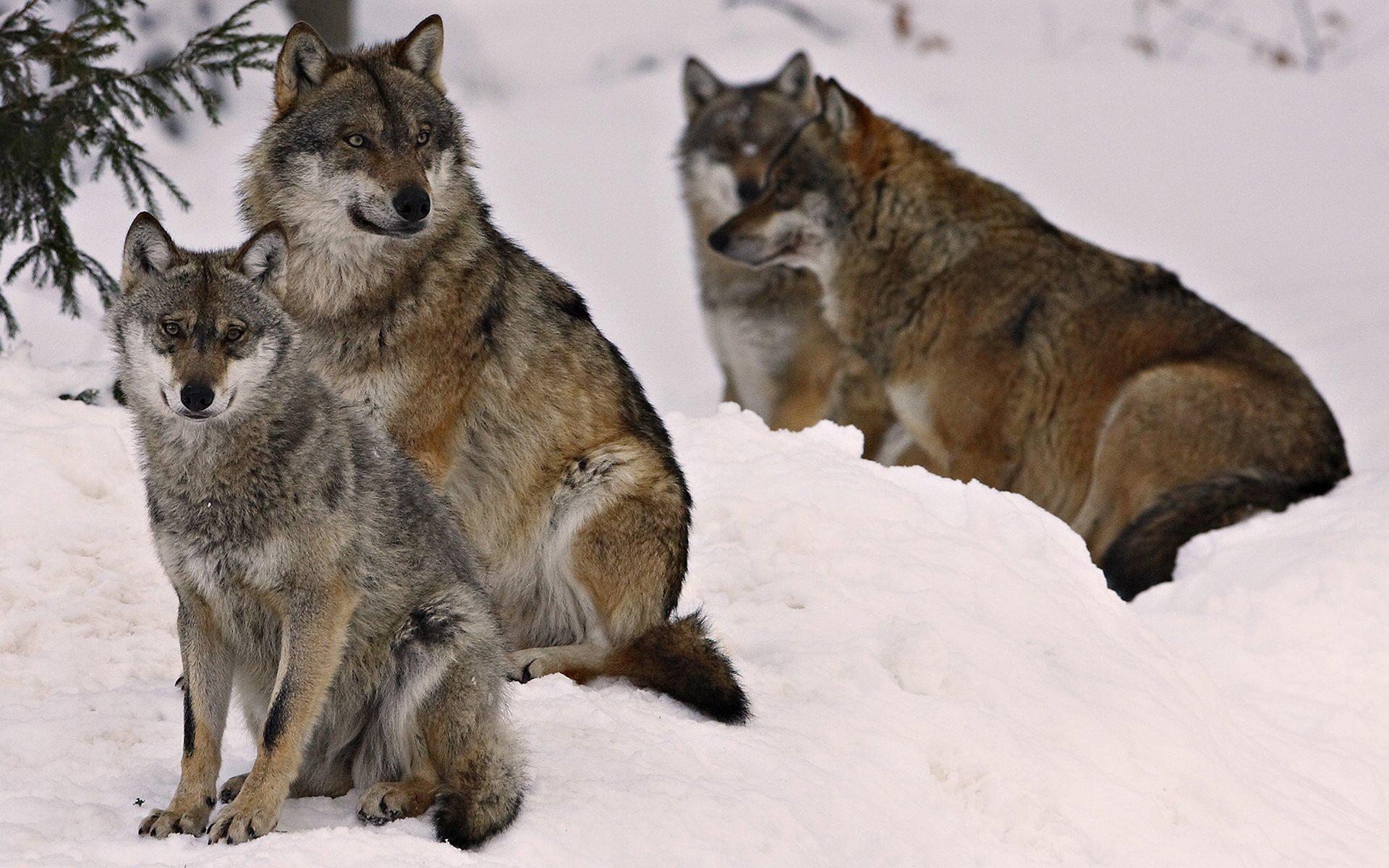 Фото волков на рабочий стол