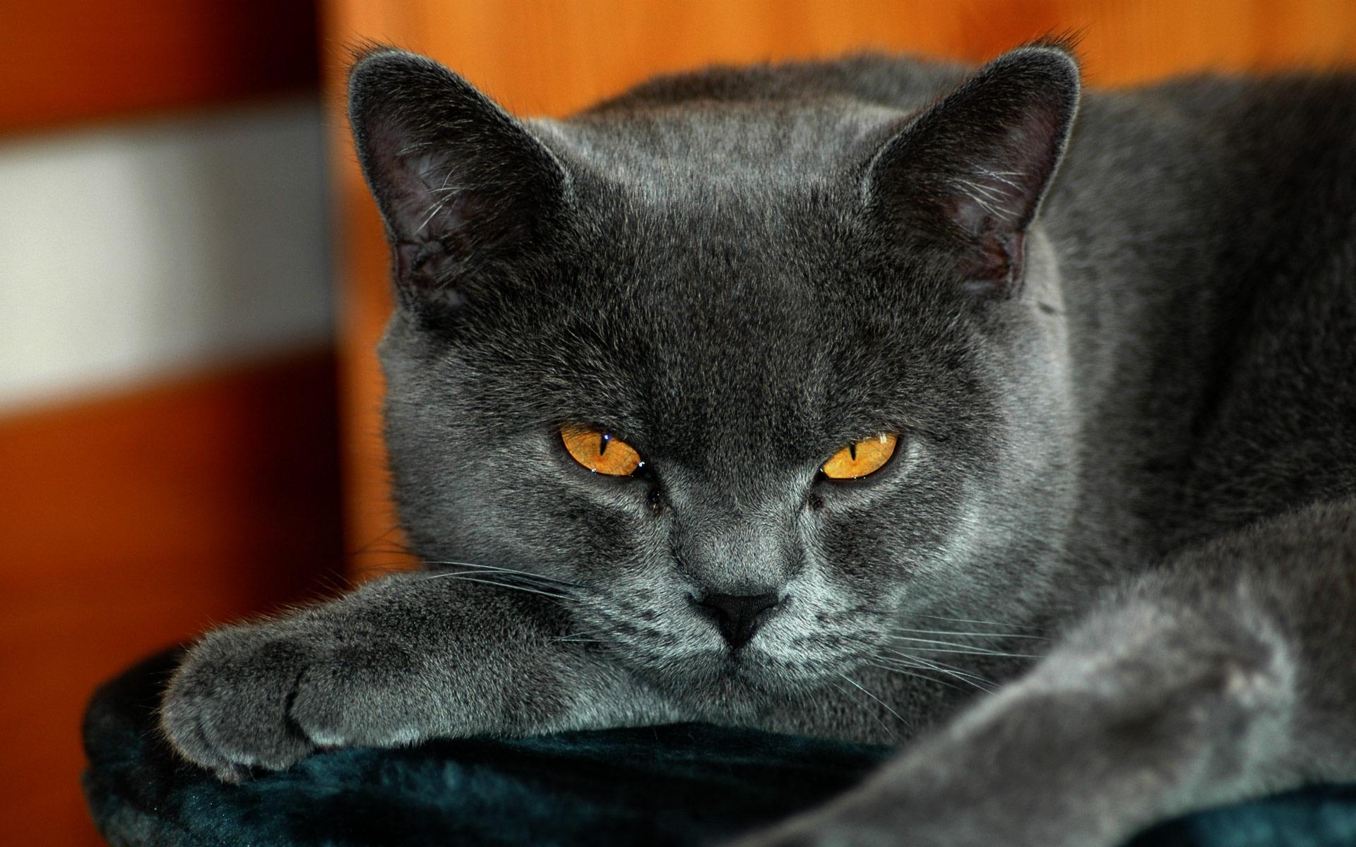 какое-то картинки красивых кошек британец слова, написанные классным