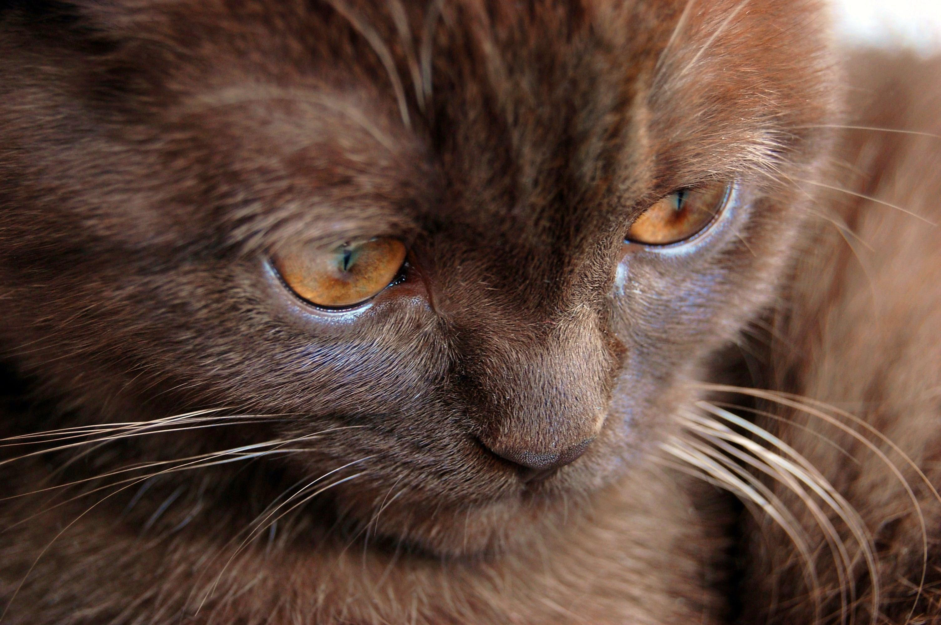 картинки шоколадные кошки резного