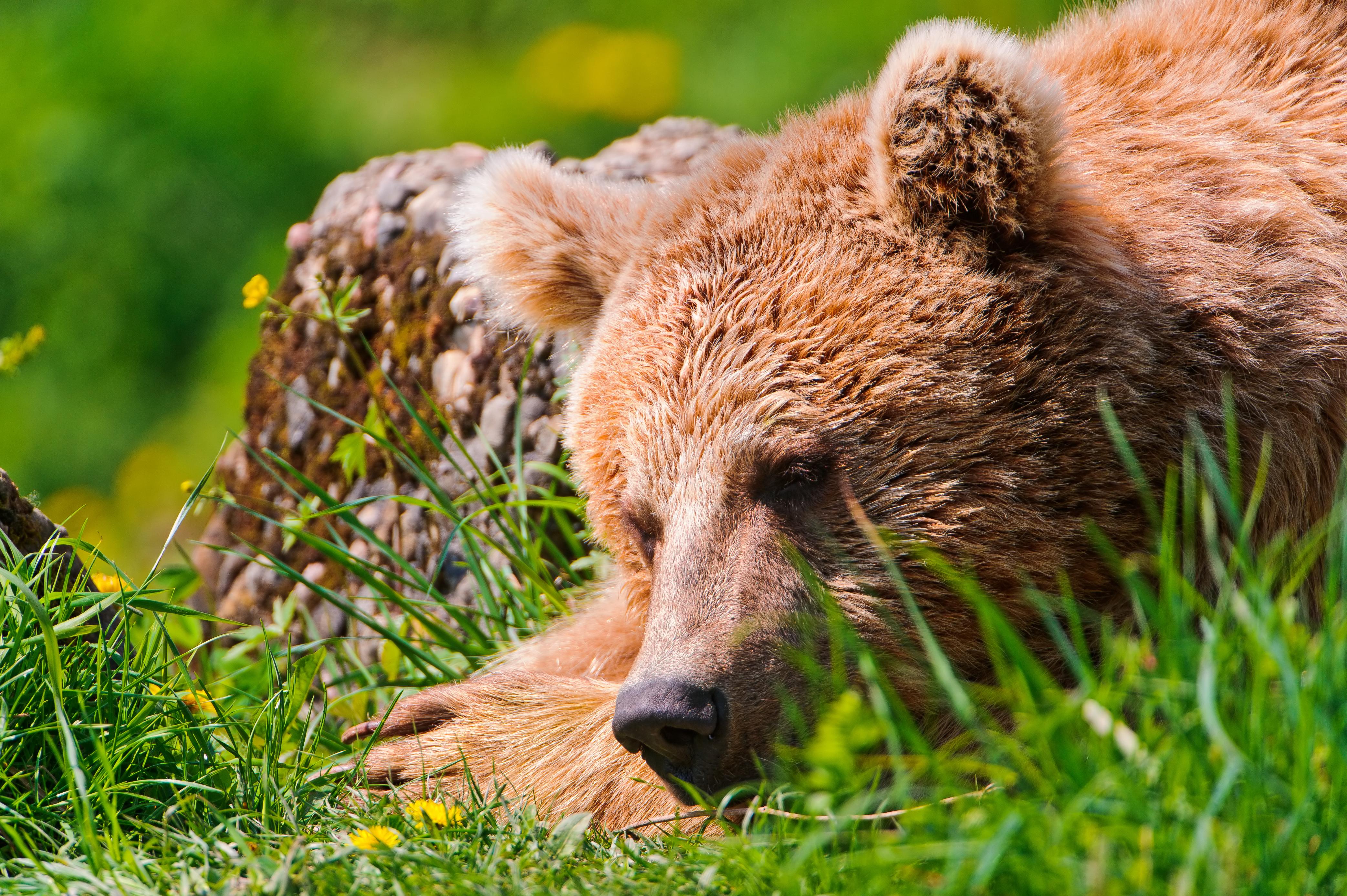 картинки отдыхающий медведь имеются деньги