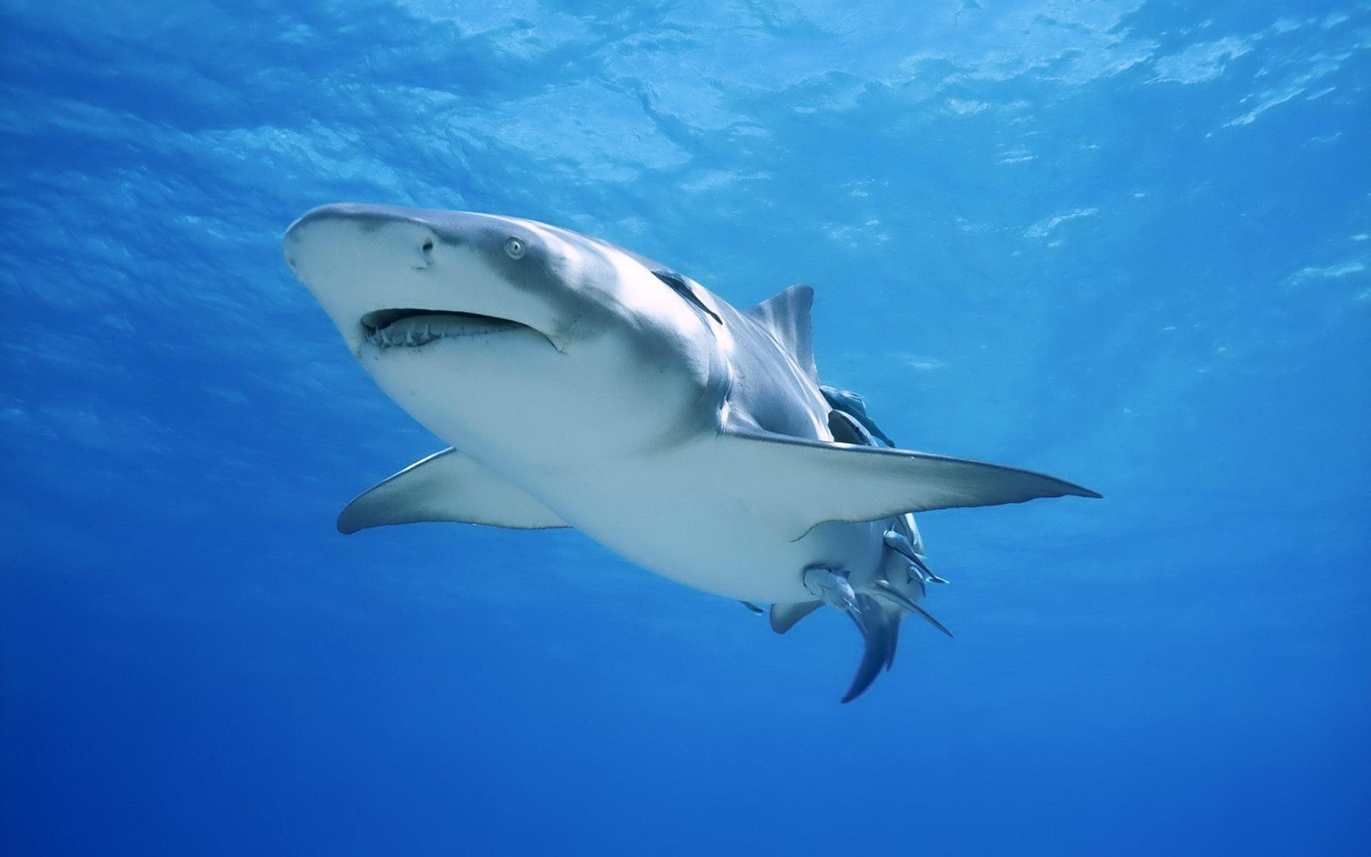 картинки красивых белых акул меня, однако, запись