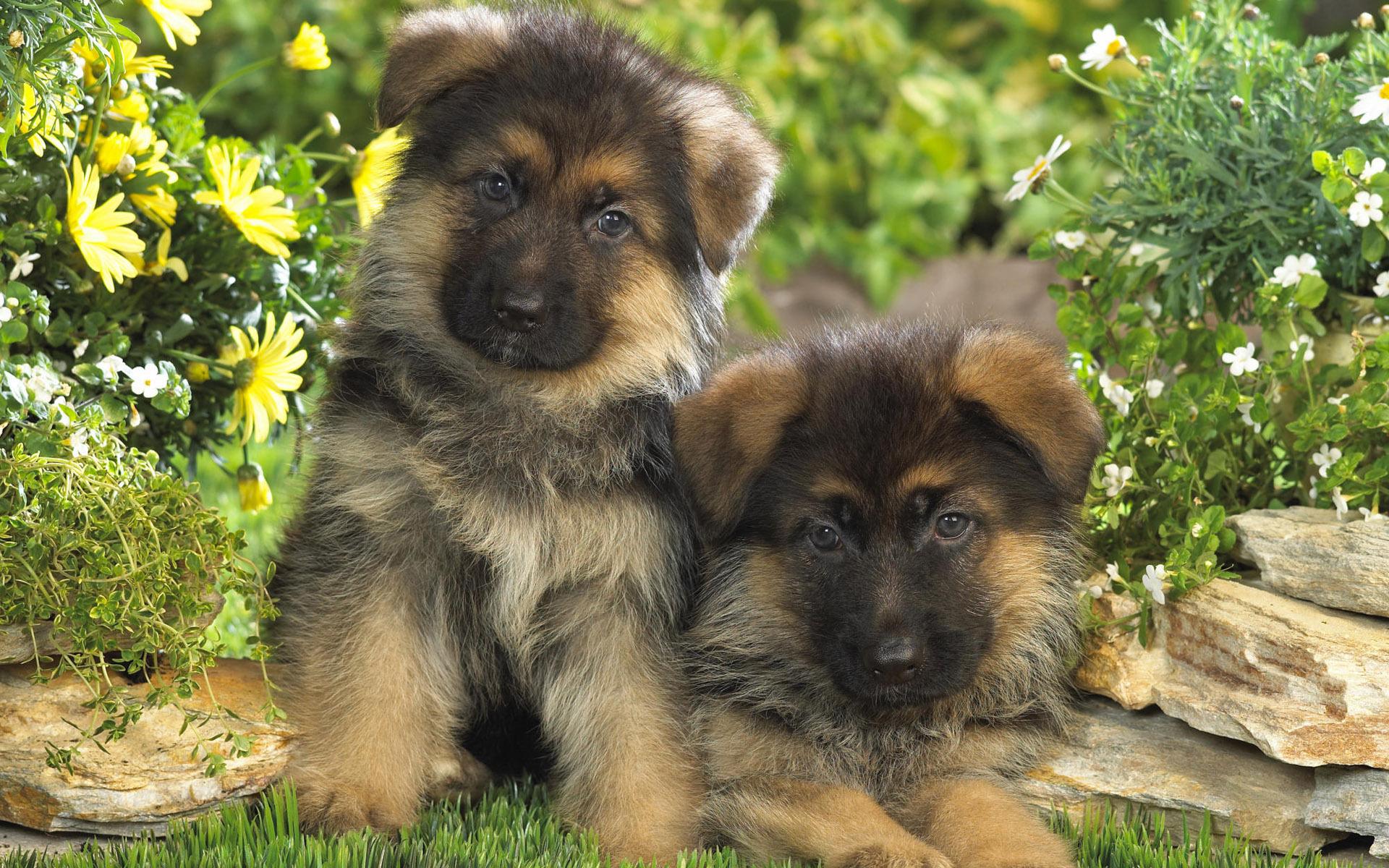 картинки собак овчарок немецких щенков совершили