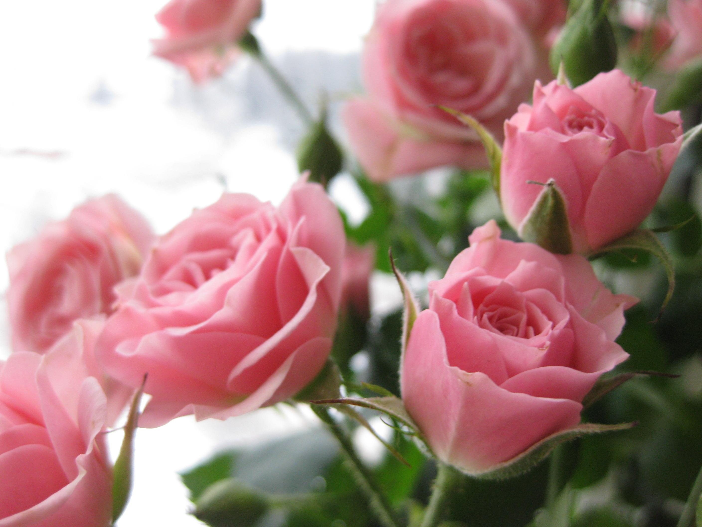 картинка на рабочий стол розы нежные все