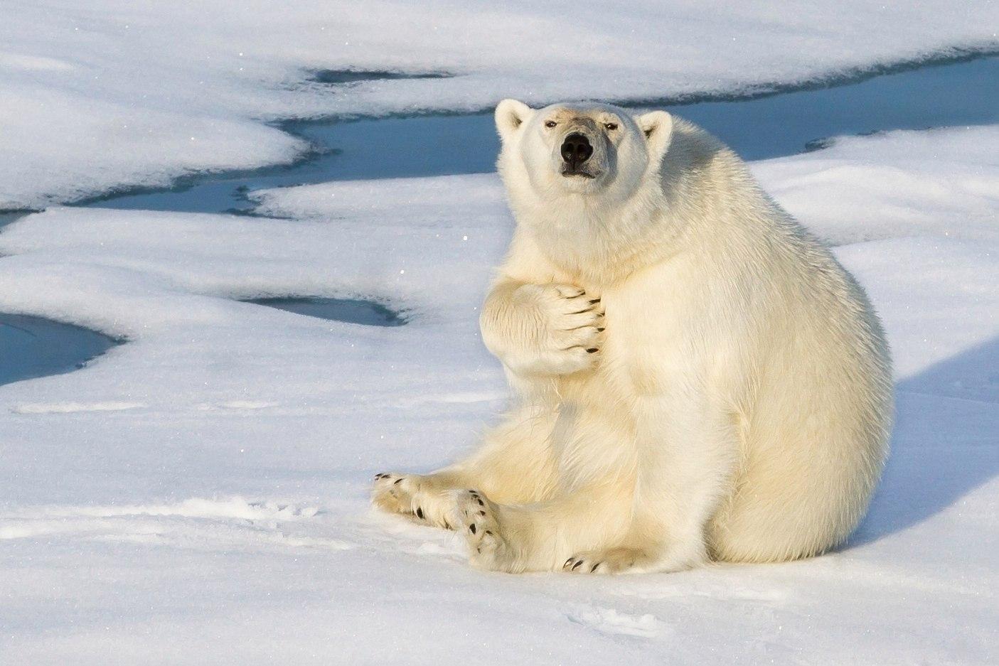 правильной проработке смешная картинка белого медведя событие