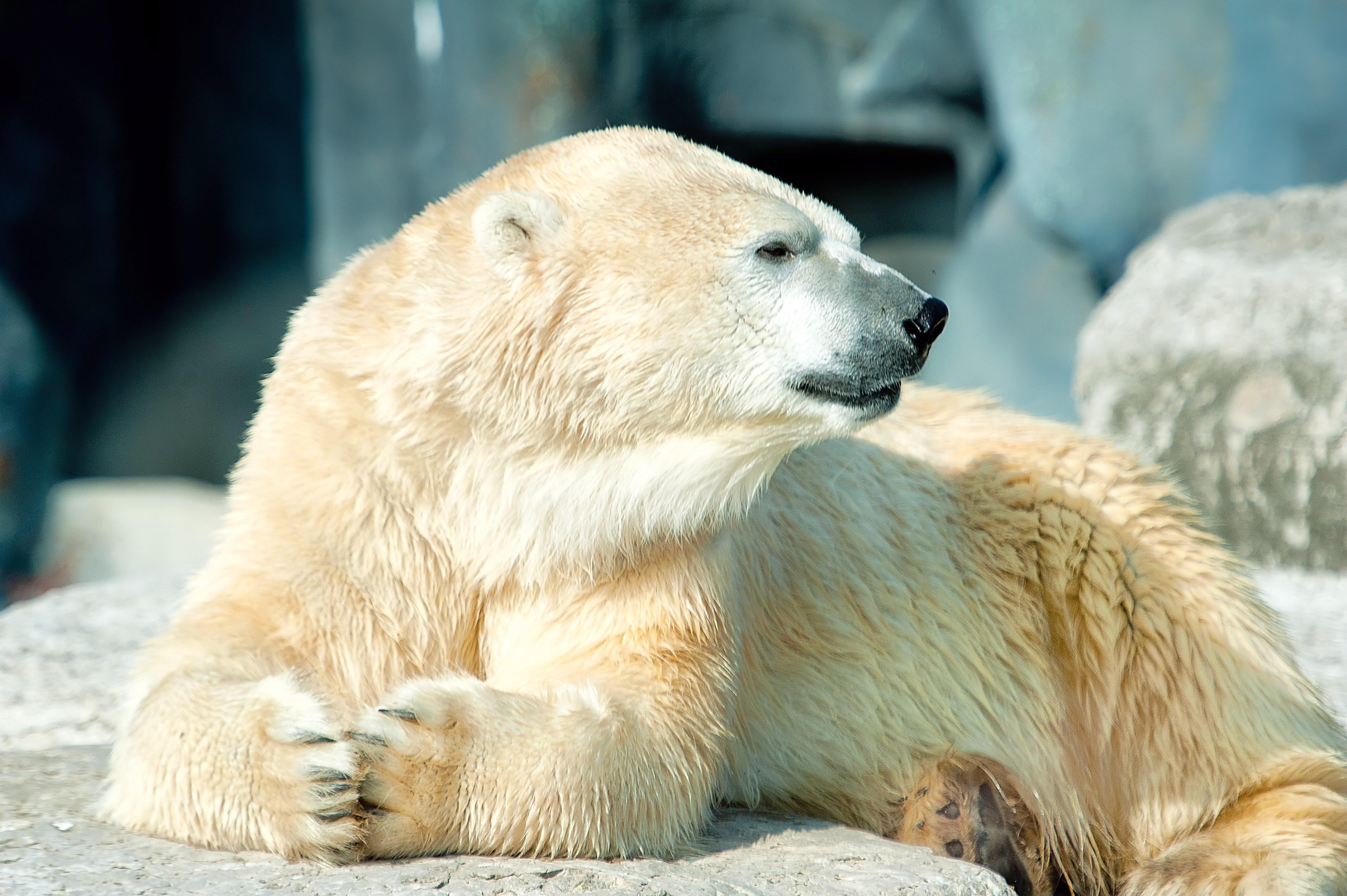 Картинки на рабочий стол медведи белые