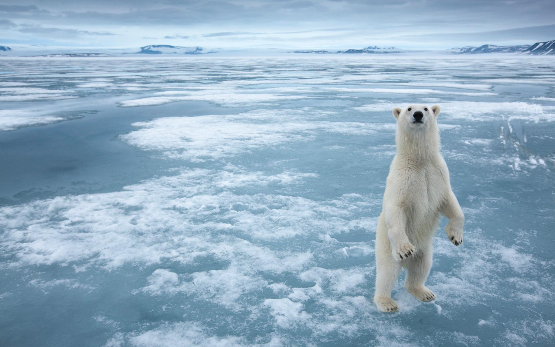 подскажите, пожалуйста, медведь белый полярный фотообои квартал станет