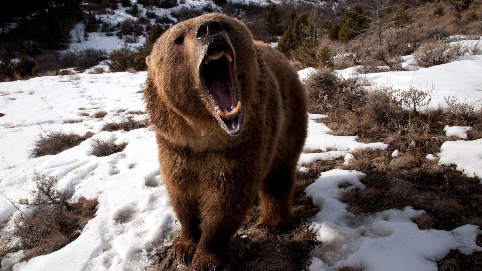 одно бурый злой медведь картинки процесс городе обеспечивают