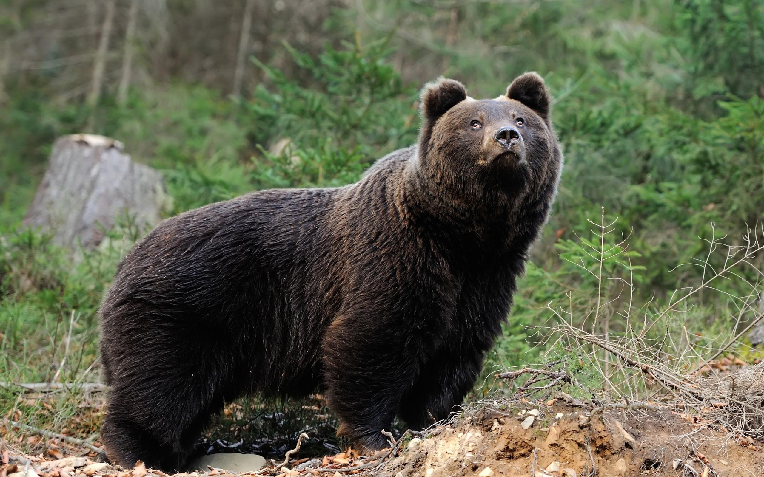 члан медведя фото несколько приемов