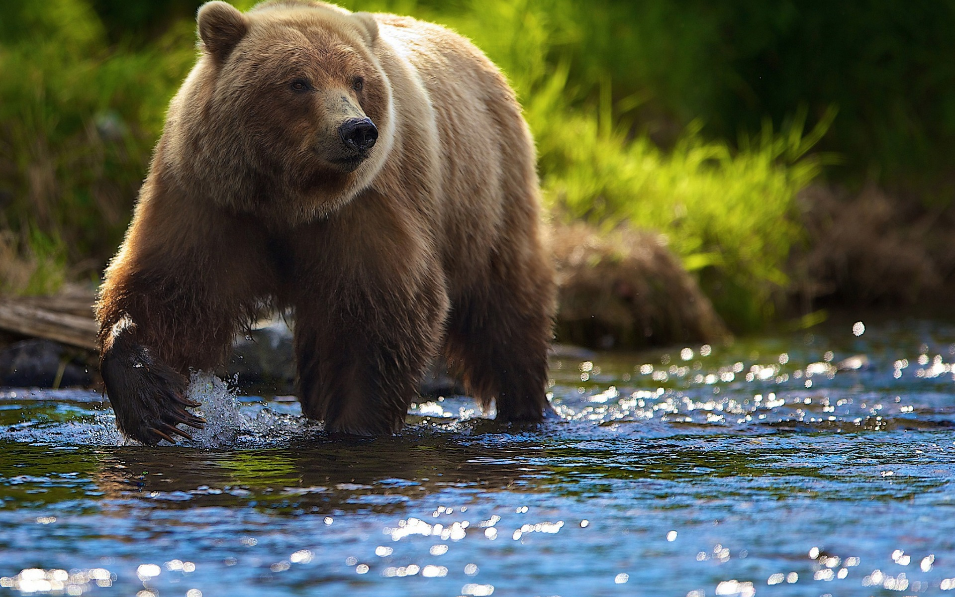 Бурые медведи картинки красивые