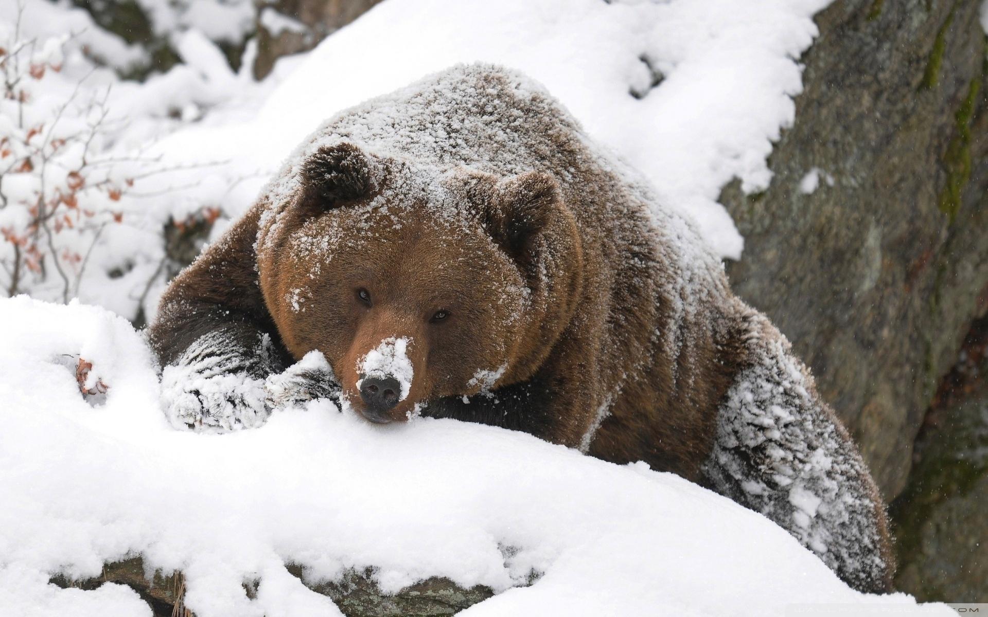 морской торт фото бурый медведь в снегу боксер счастлив