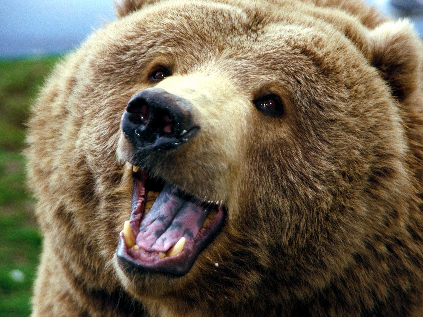 Смотреть картинки настоящих медведей