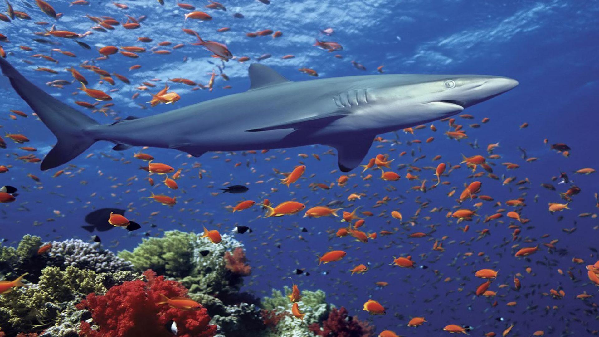 Акула в море картинка