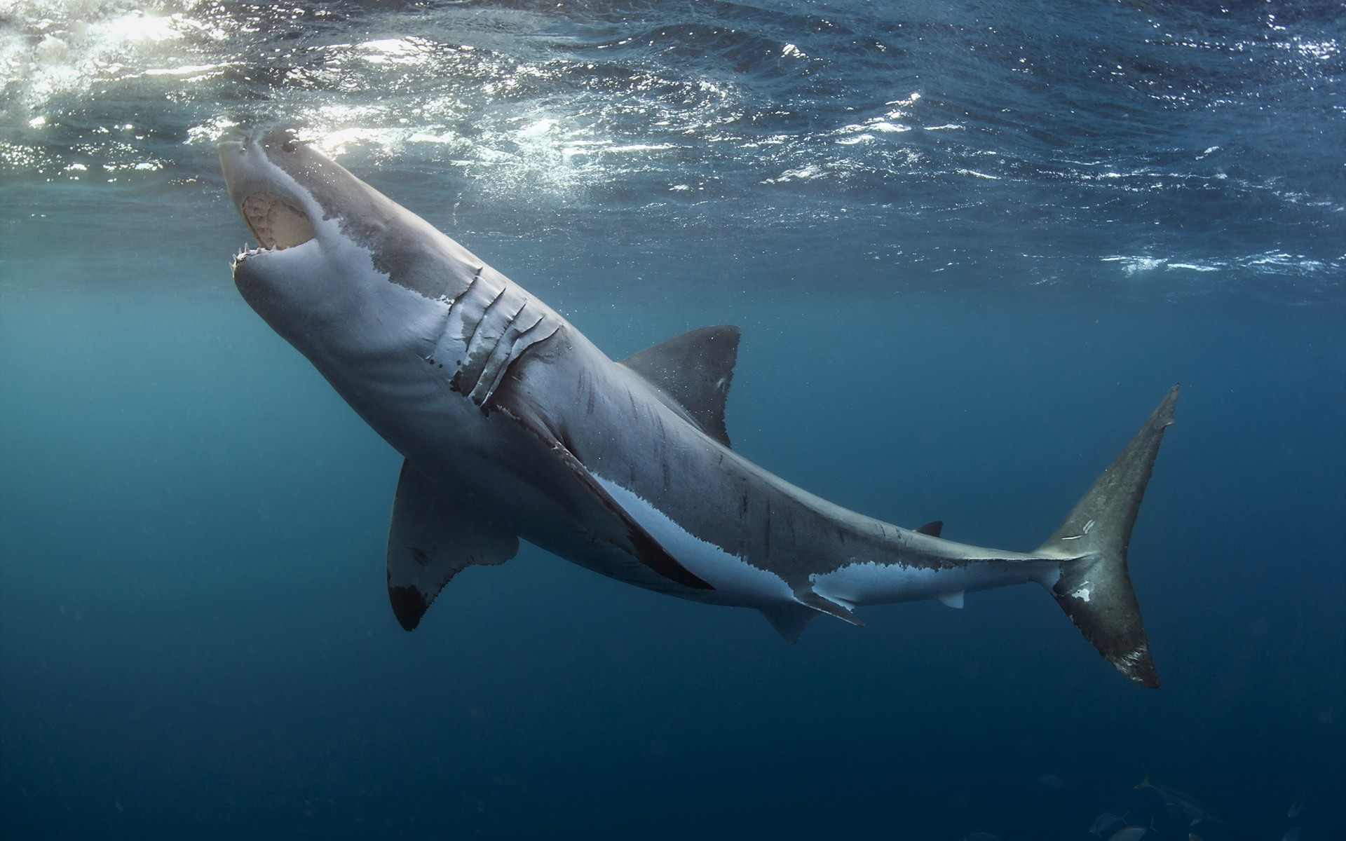 Акулы картинки и фото