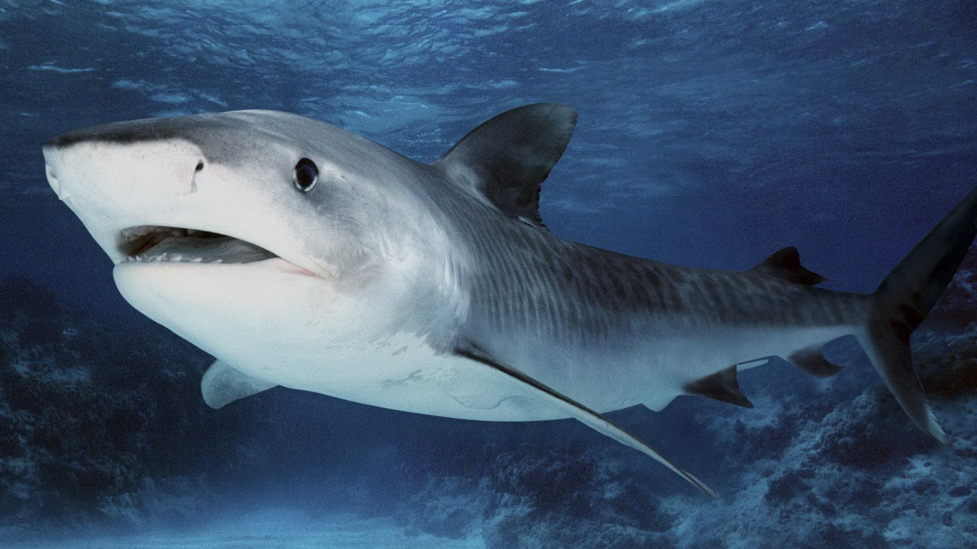 Картинки акула