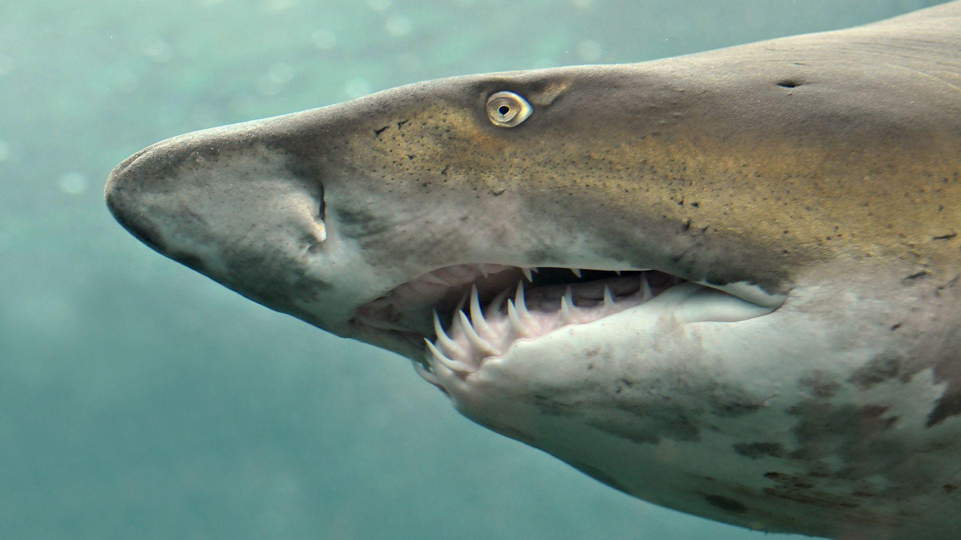 Акула с зубами картинка