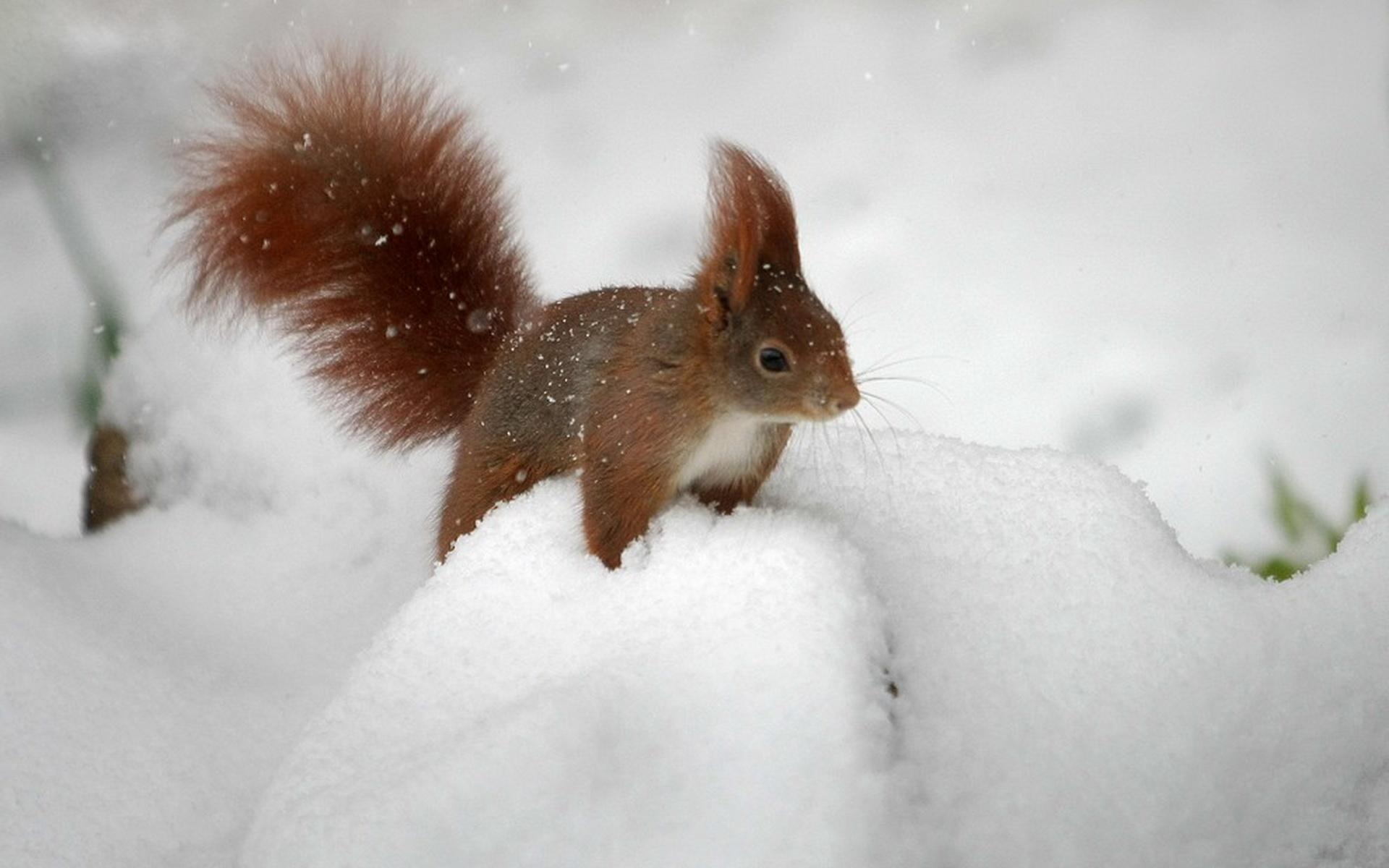 Картинки белочка на снегу