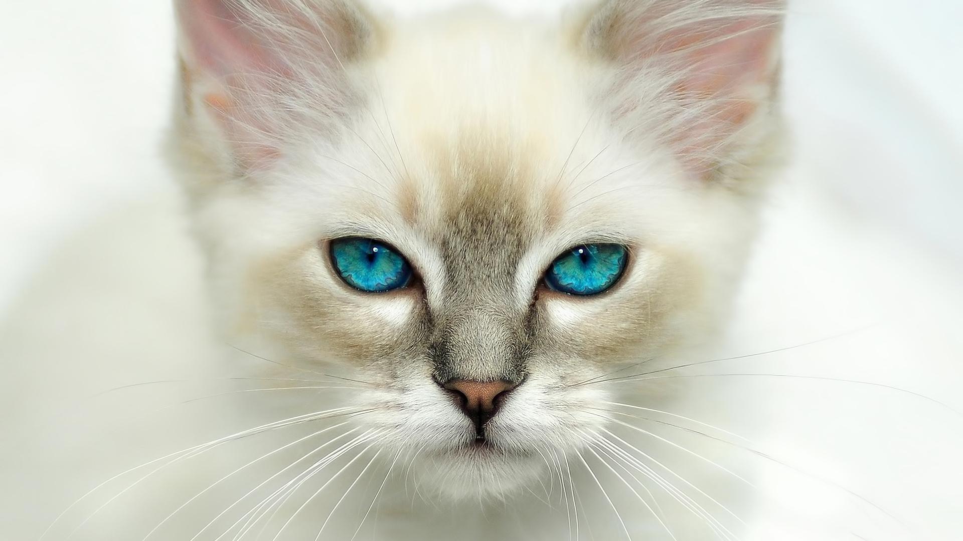 Картинки котята голубоглазые