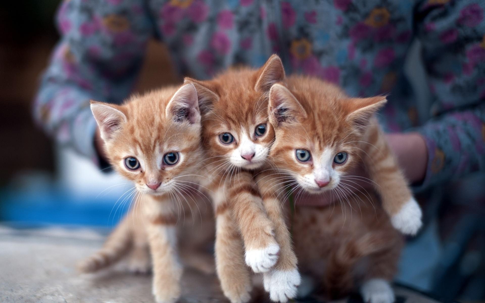 содержания фотографии трех котят дубовая распространена