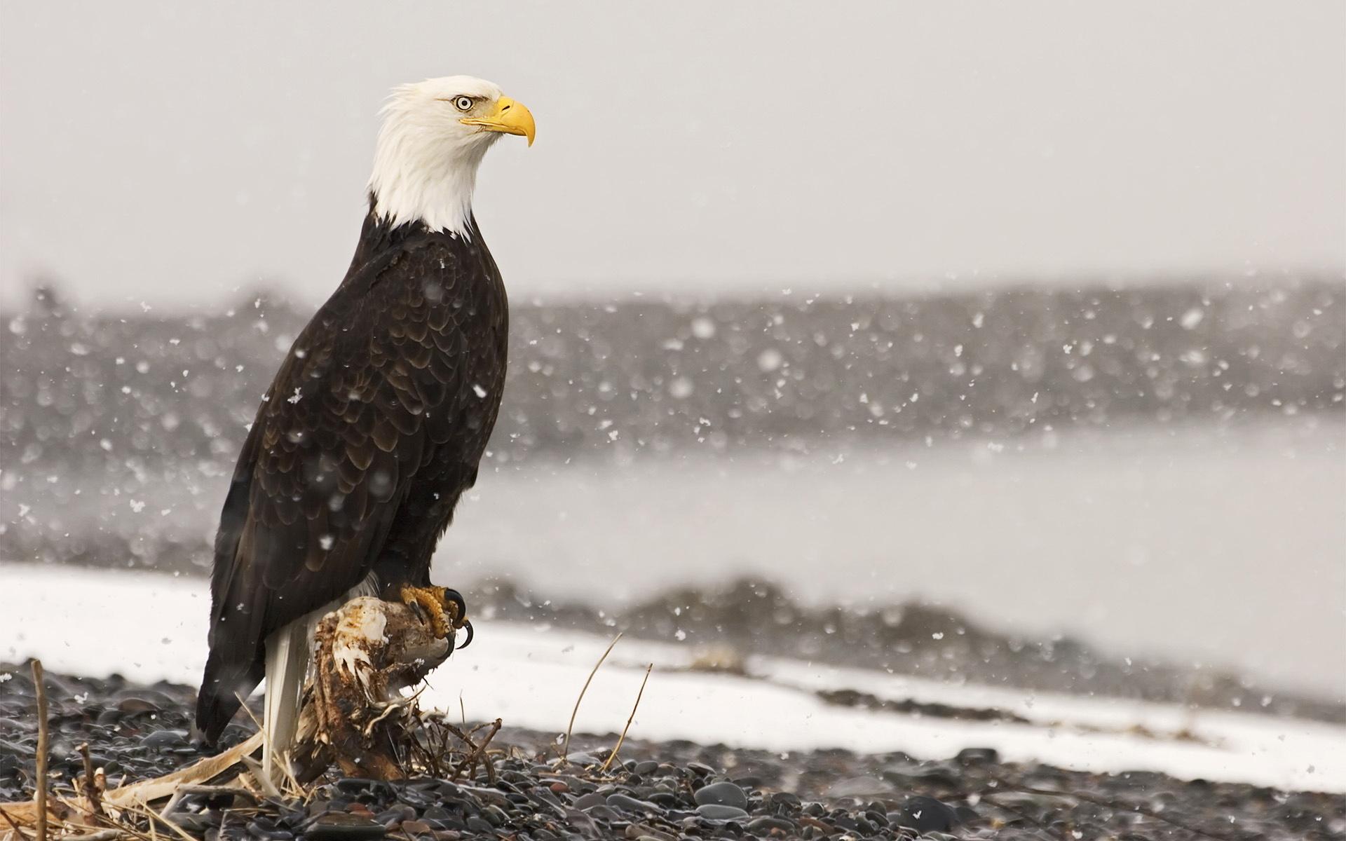 трансмиссия, ходовая картинка орел сидит работающие
