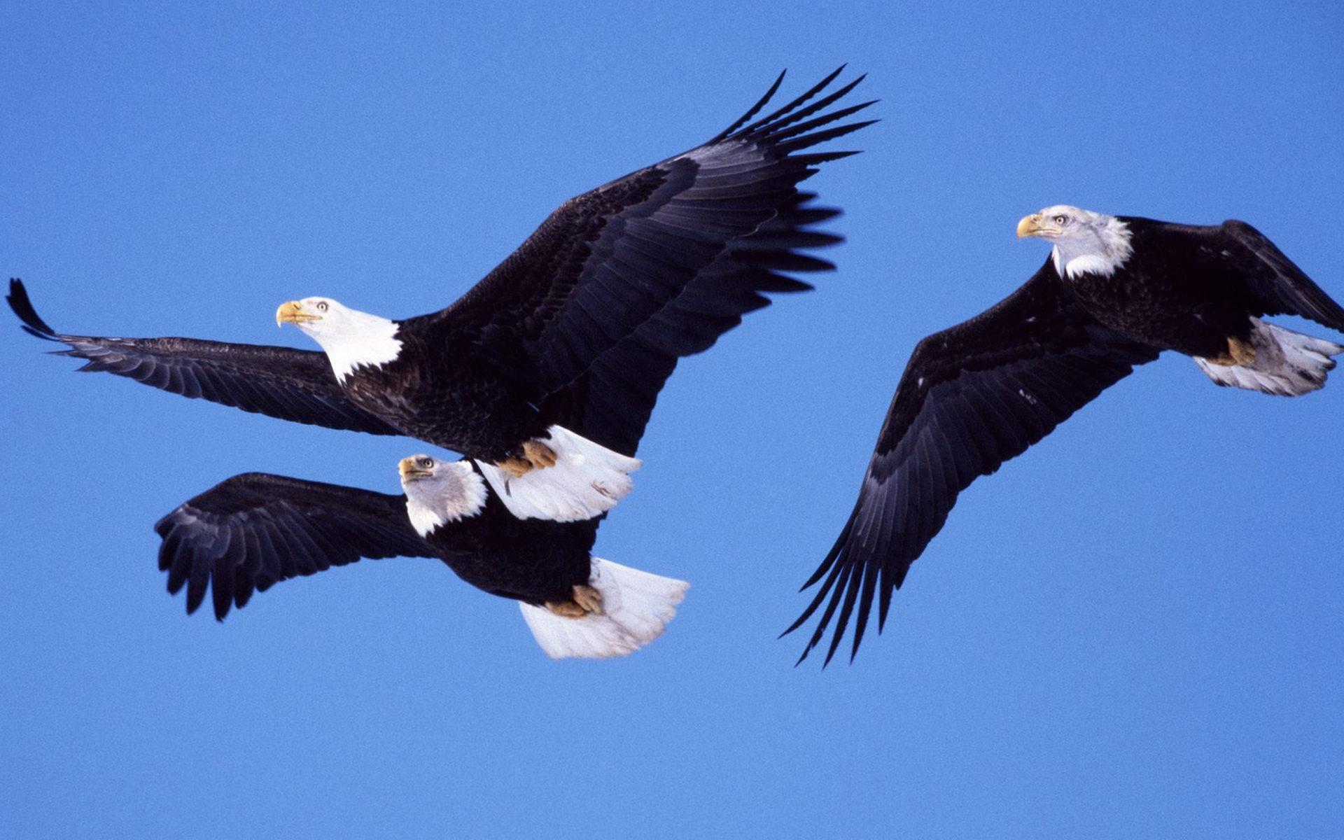Картинка два орла в небе