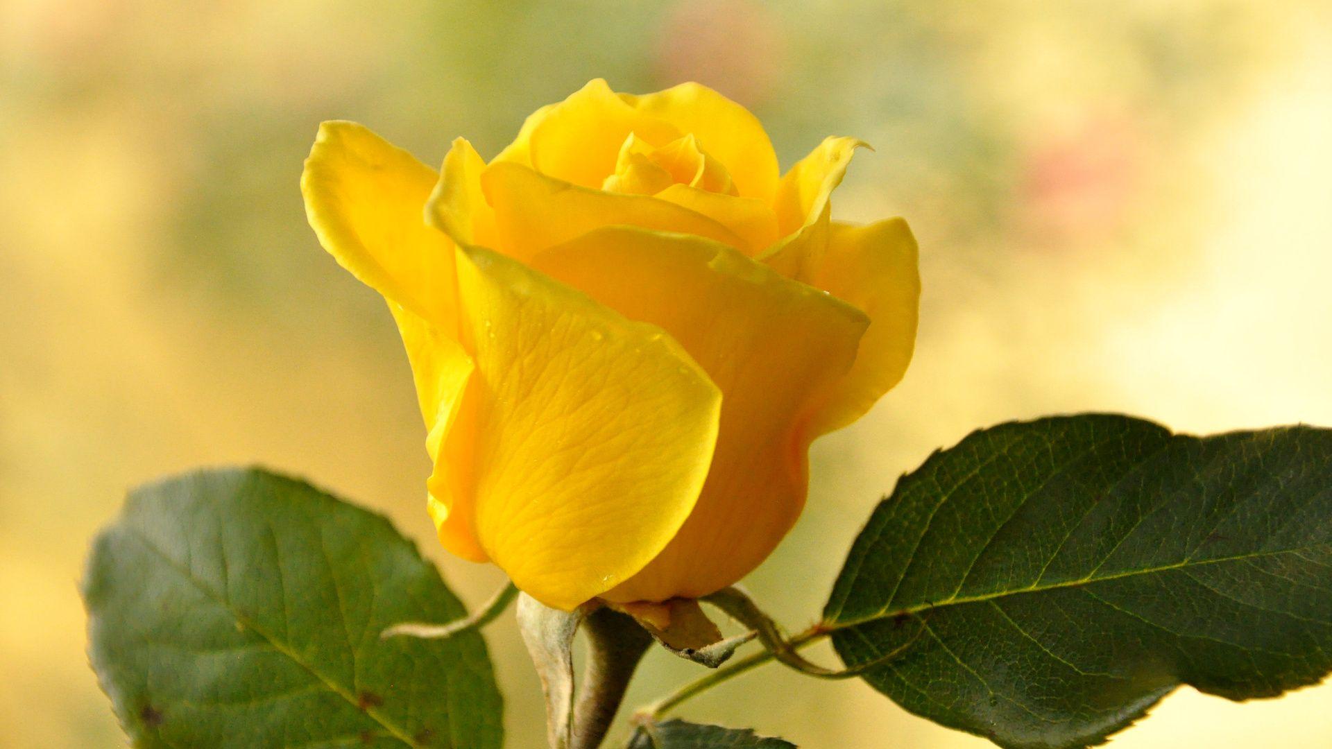 Картинка жолтая роза