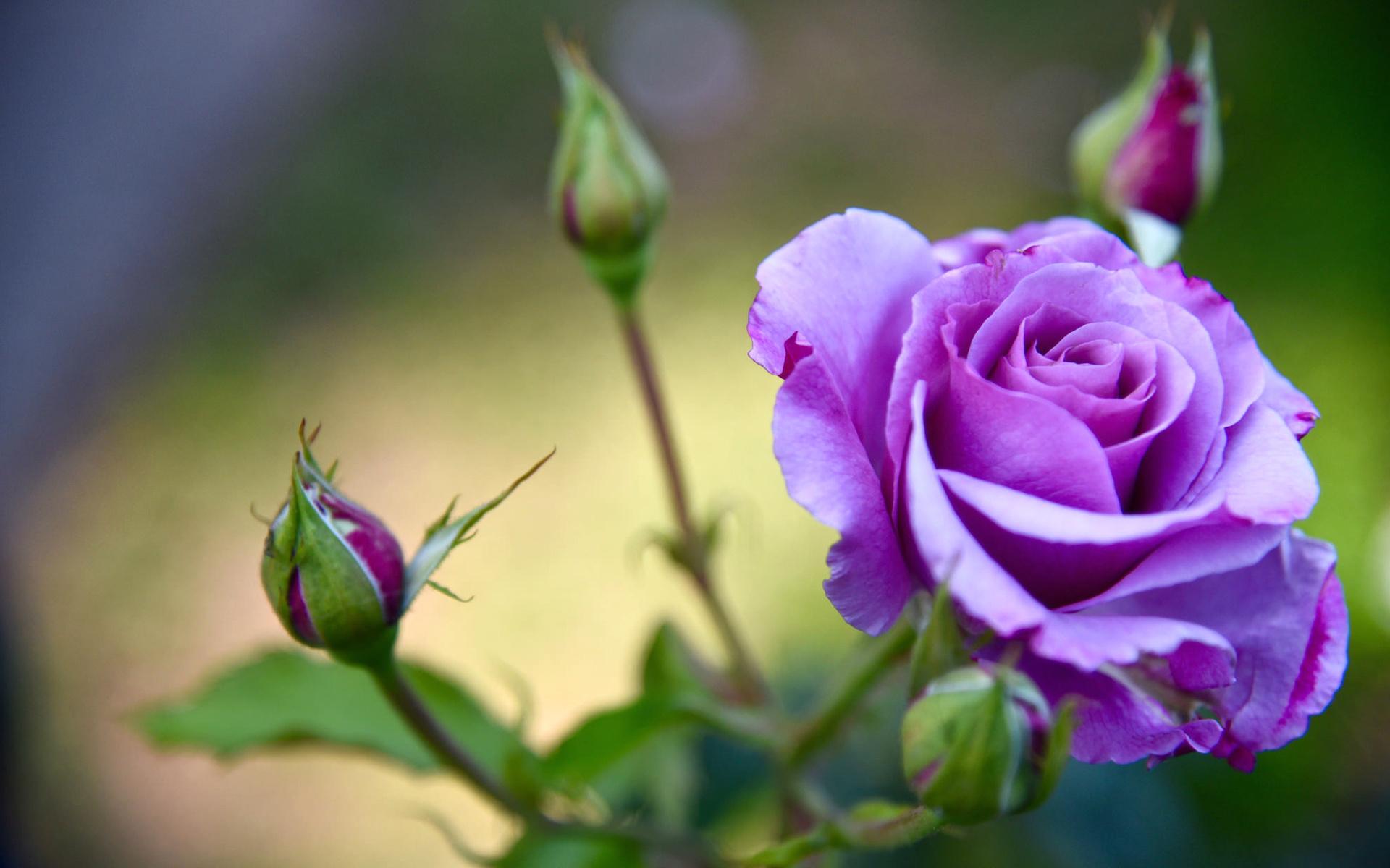 высокие картинки на телефон розы хотите загрузить изображение