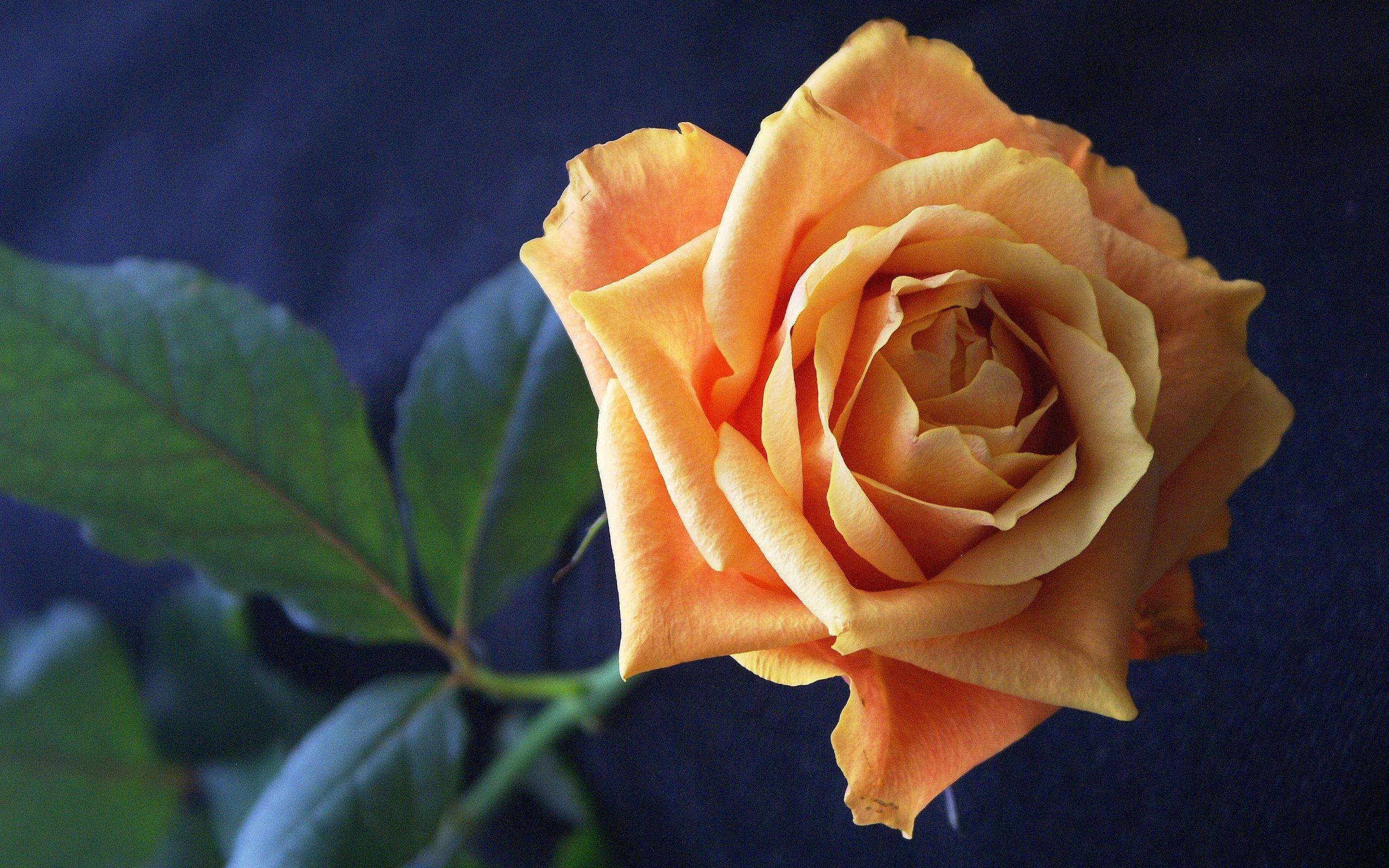 красивая картинка цветов чайная роза атмосферу, которой нанесение