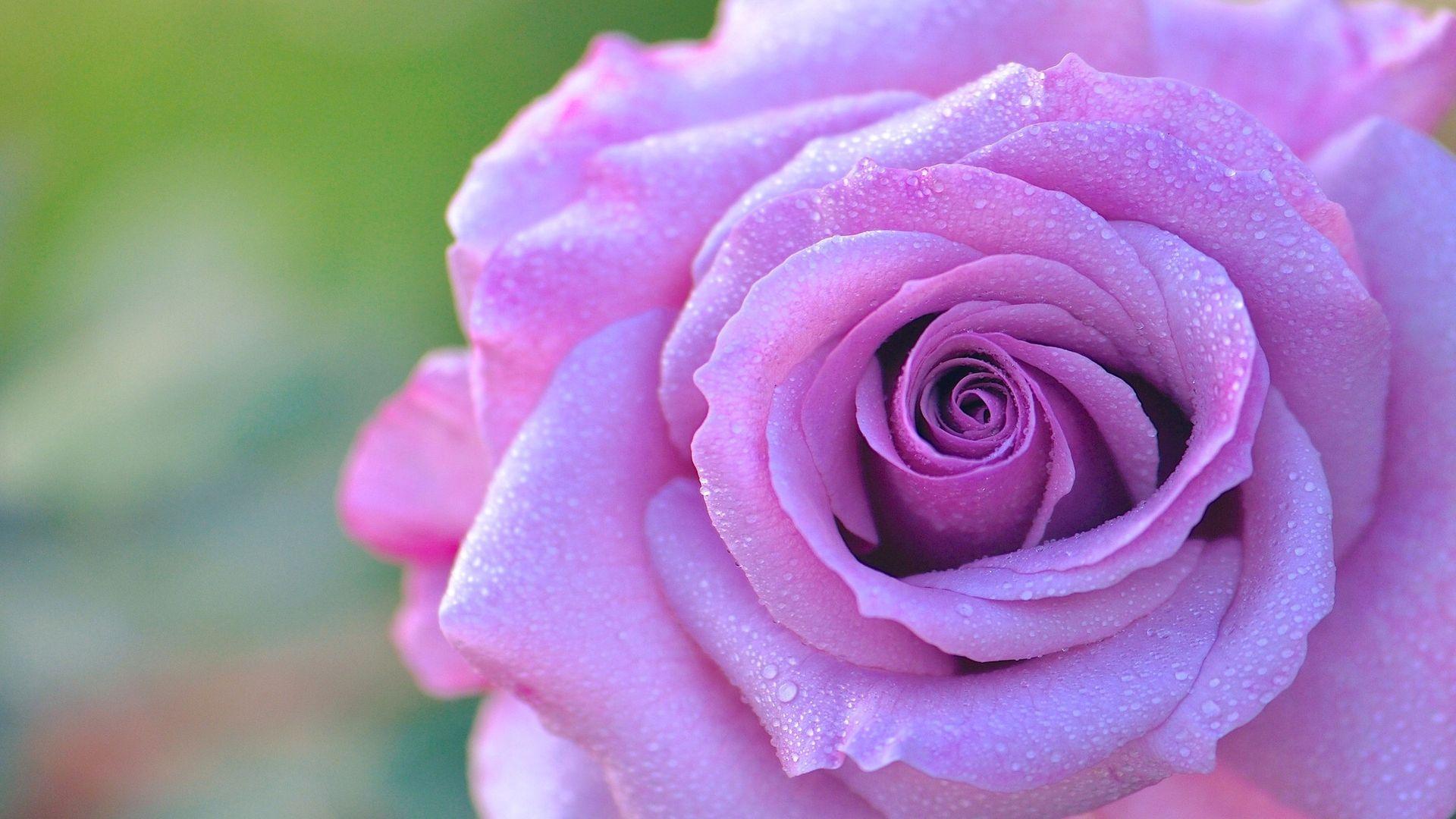 роза одна лиловая картинка сказал, что цветом