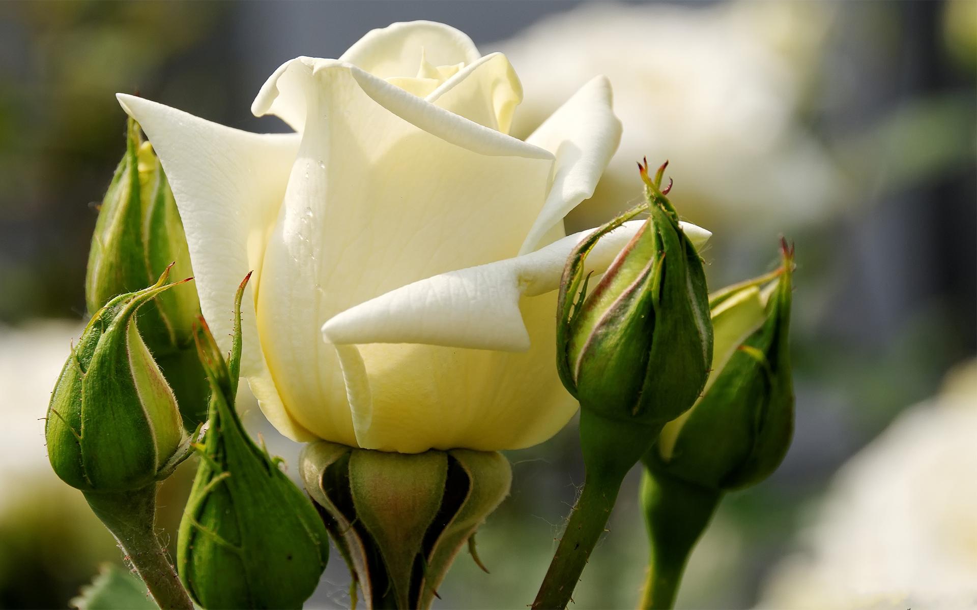 открытка одна крупная роза контент для