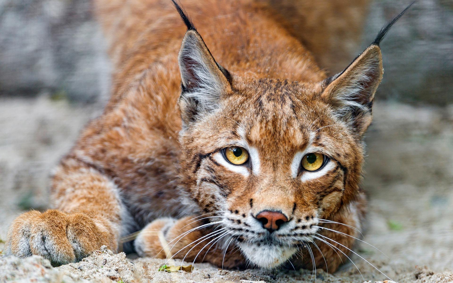 картинки красивые про кошек рыси конфликтные