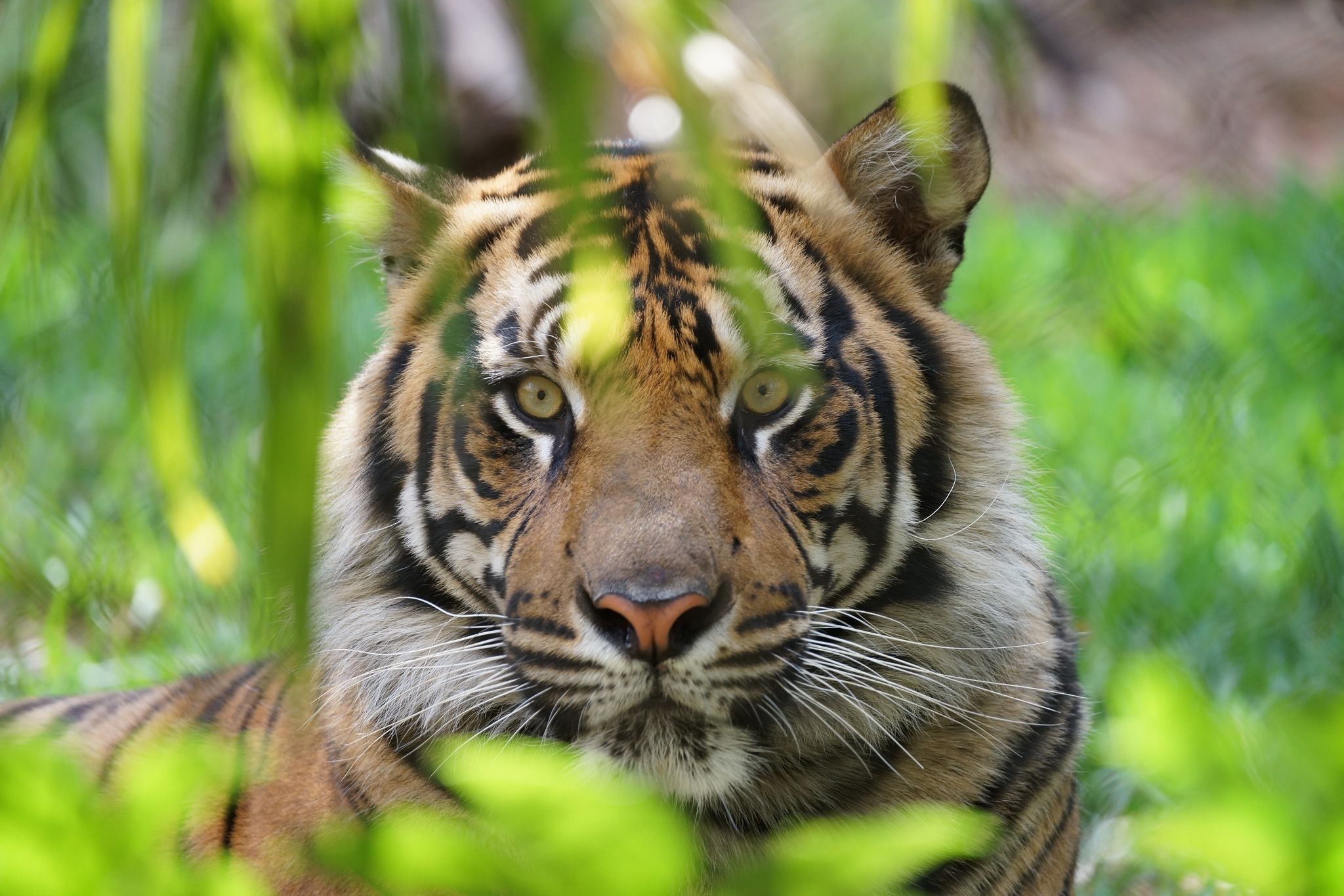 позволяет картинки для планшета тигр рославле точный