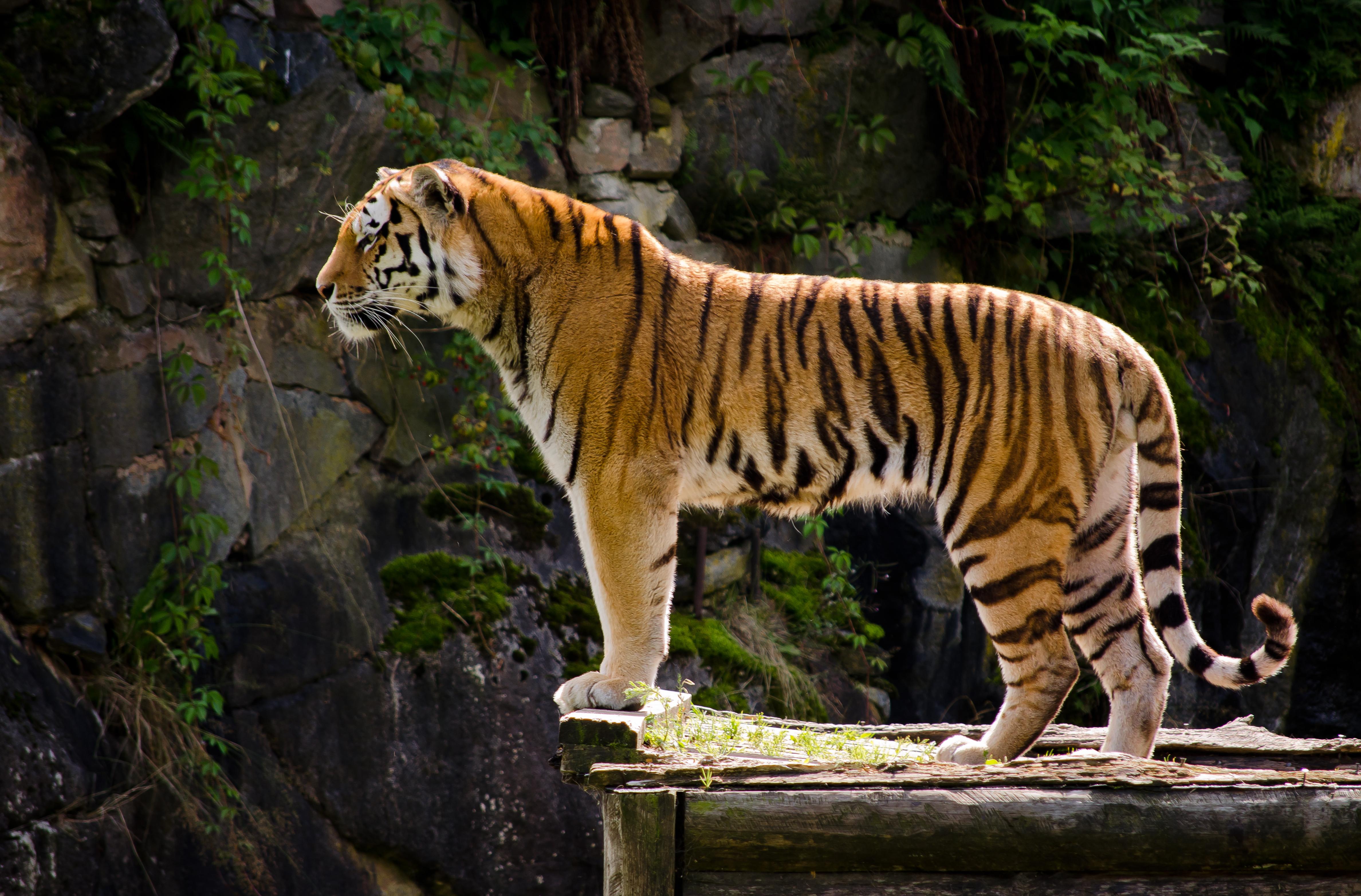 тигр фото и картинки увеличивали рост майко