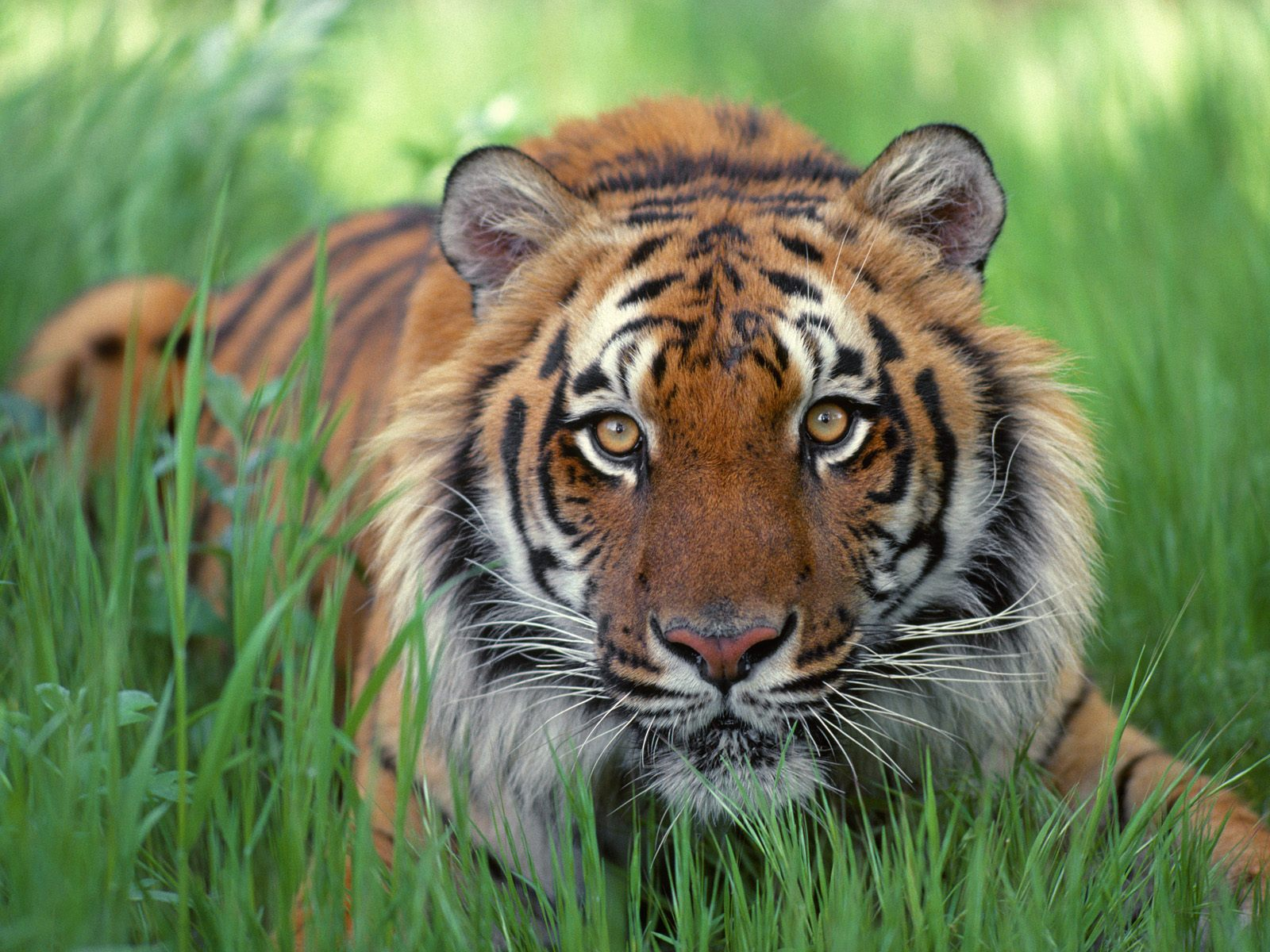 статье открытки животные тигр возьмите