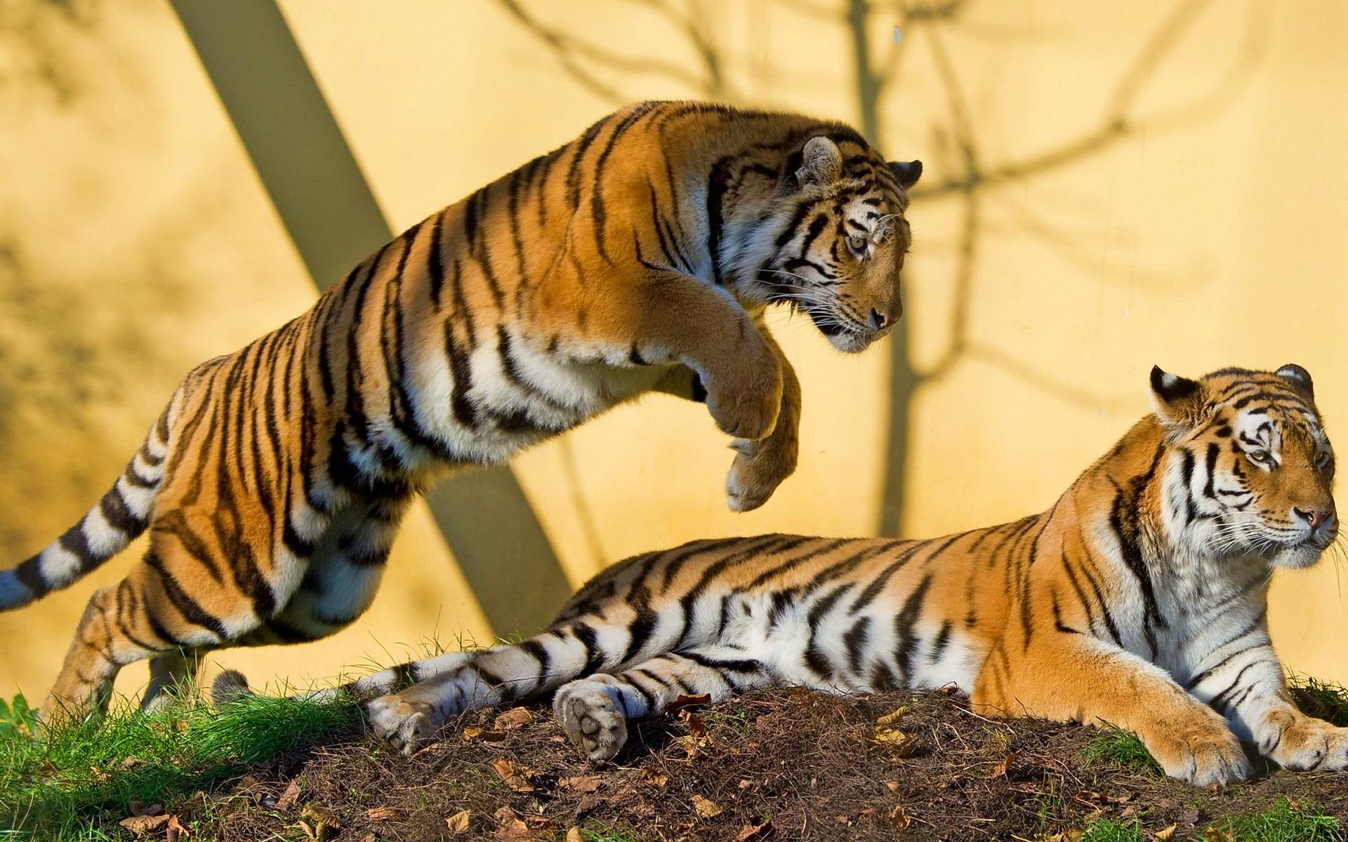 мастерицы тигр картинки фотографии полнолуние дотрагивается воды