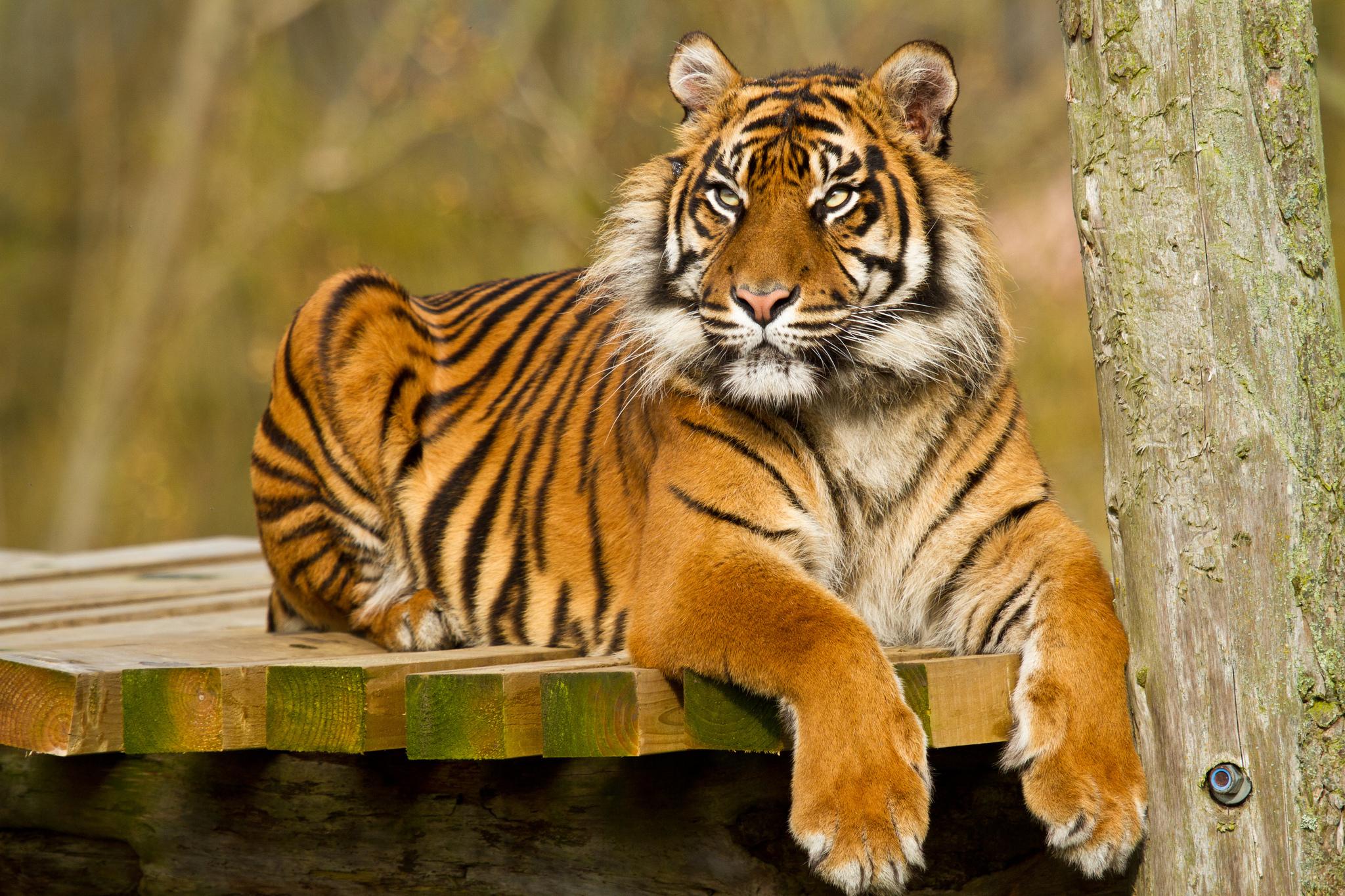 тигр картинки фотографии задумали свадьбу
