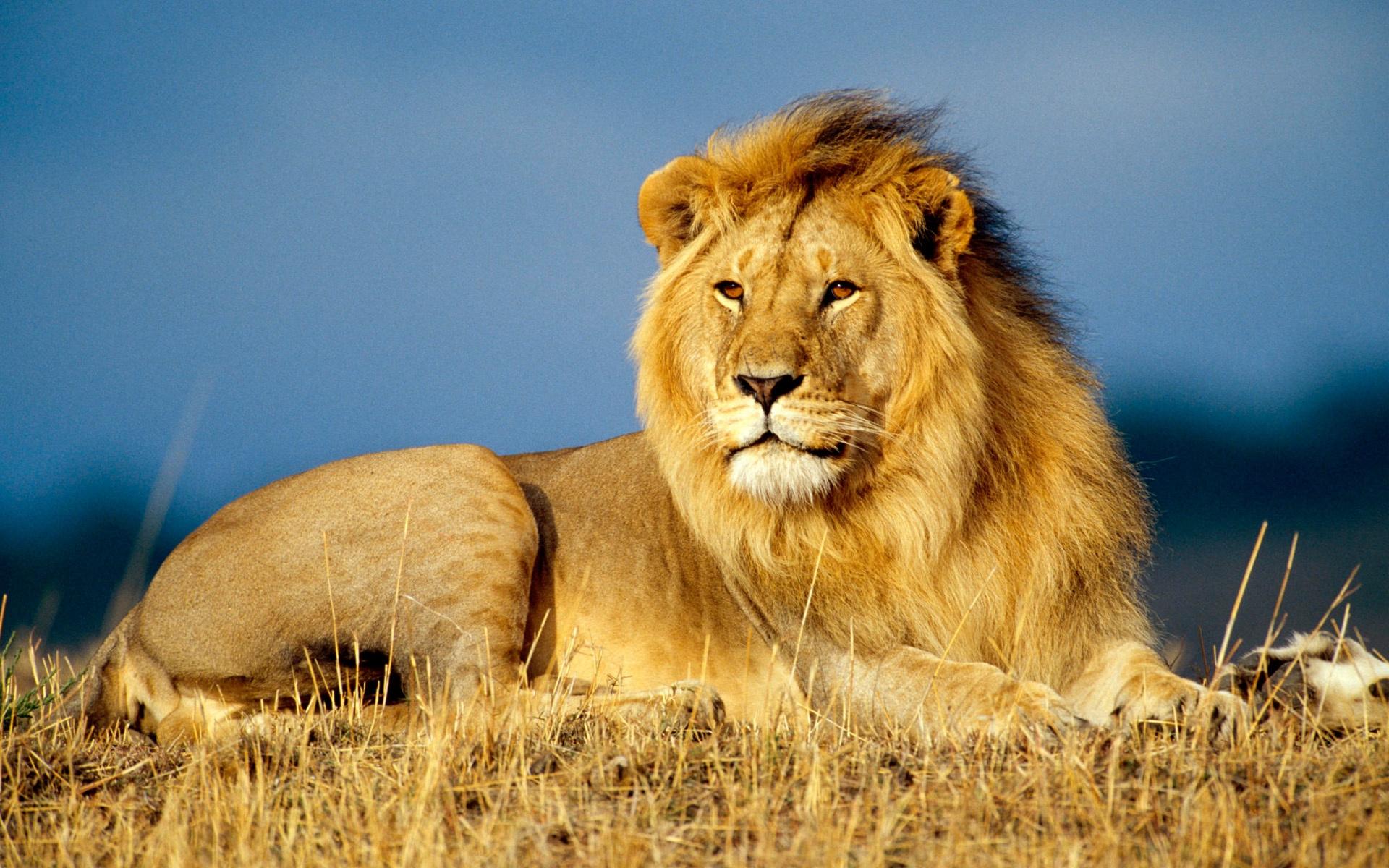 самая красивая картинка лев надписи были как