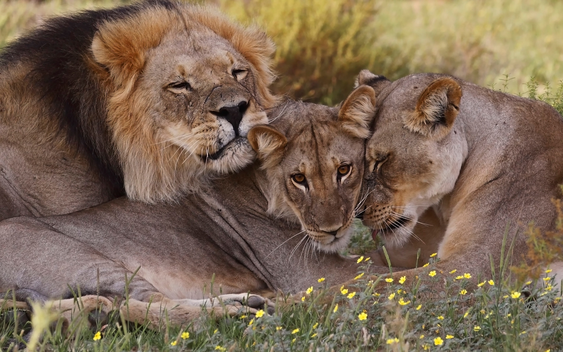 картинка люблю львенка пошива