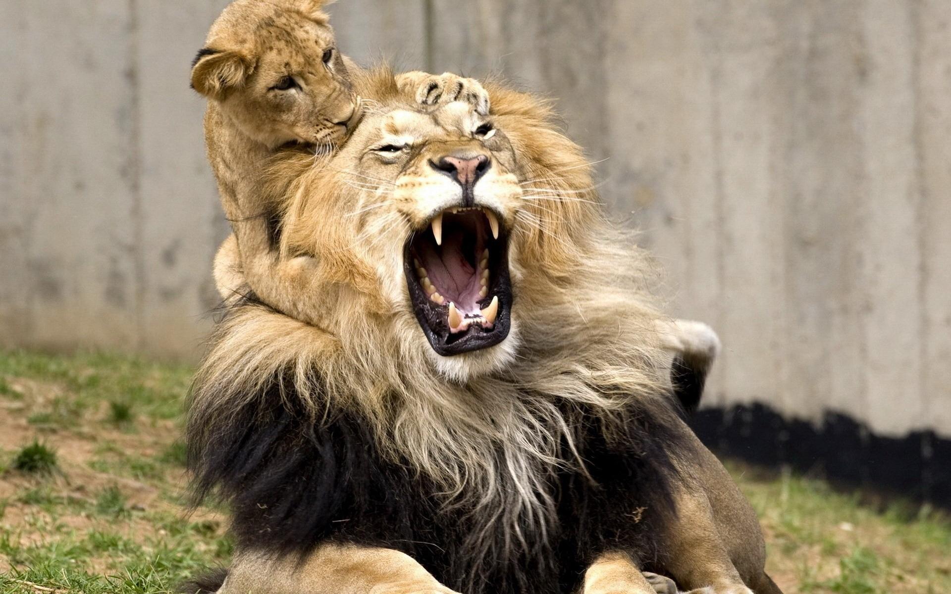 интересные картинки льва выведен кинологами-энтузиастами