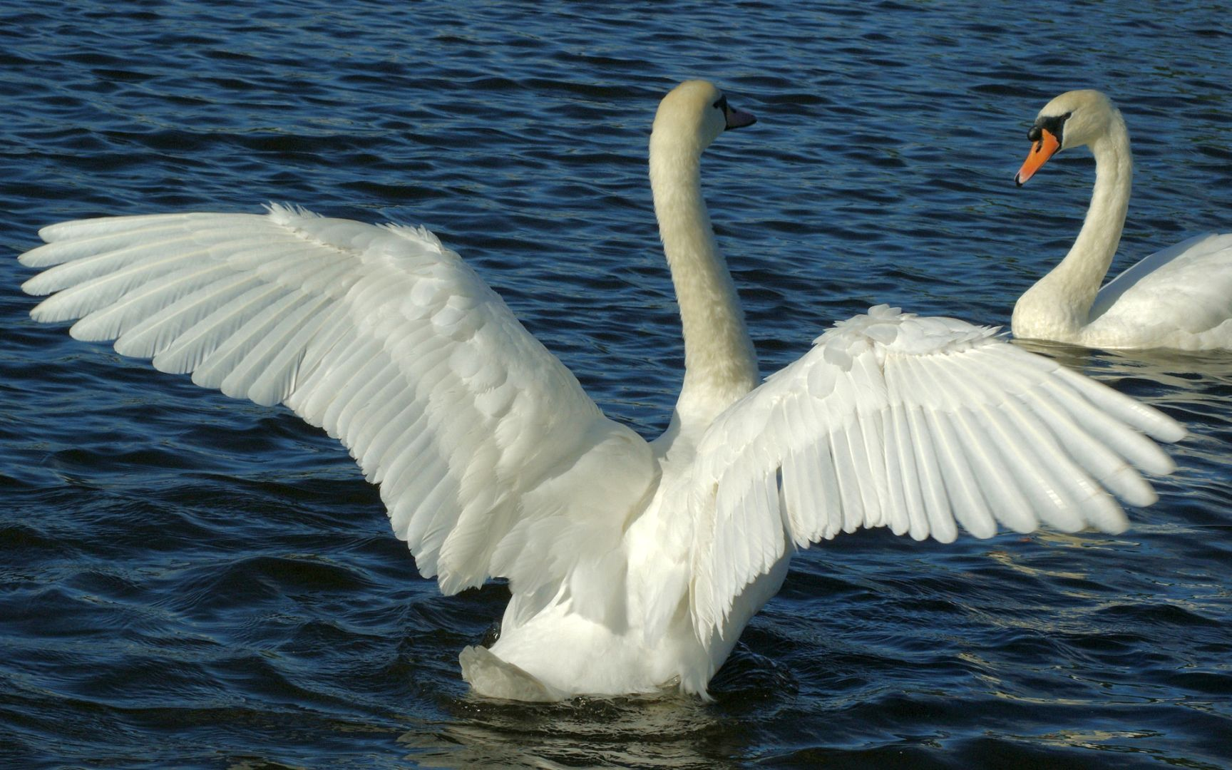 возникнуть картинки необычных лебедей поддерживает различную анимацию