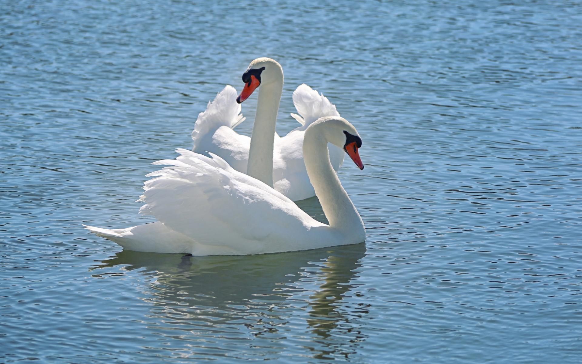 Гугл картинки лебеди