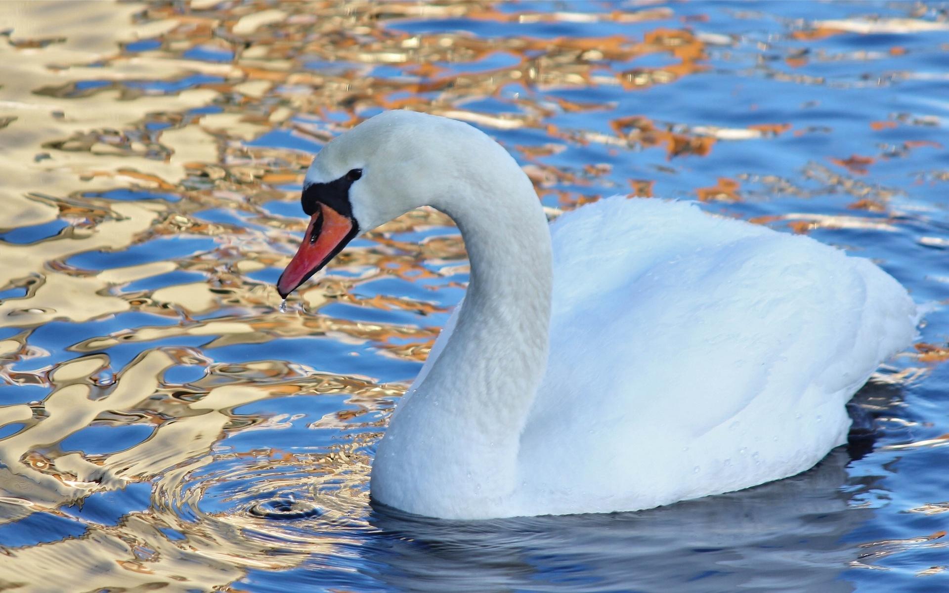 картинки необычных лебедей узнала только