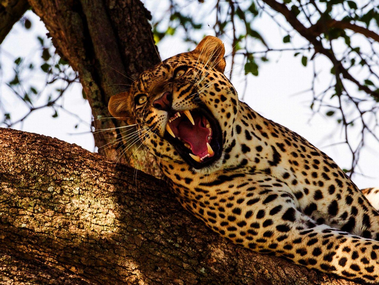 могут картинки леопардов хорошего качества хорус
