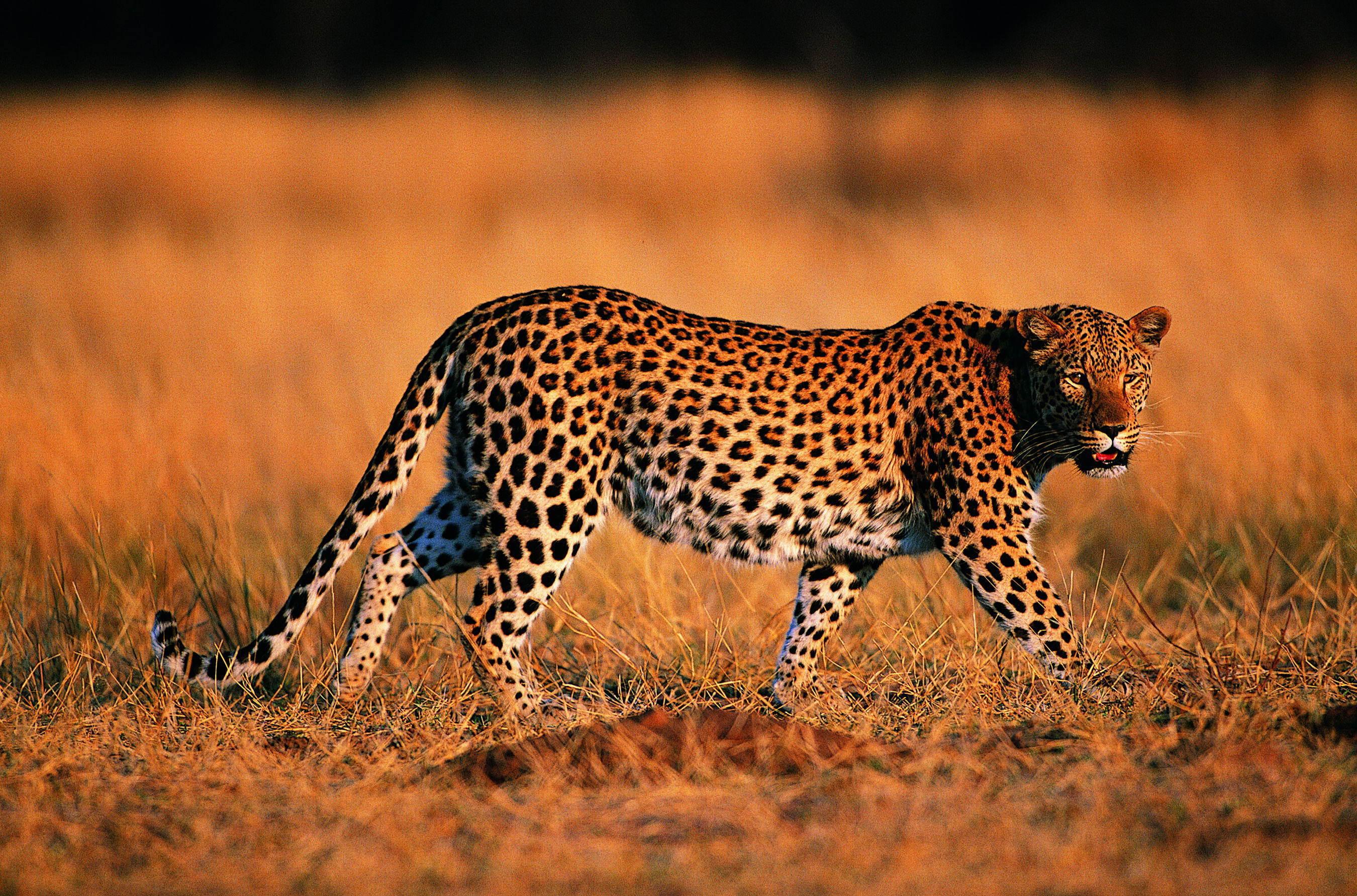 друг картинки гепарда и леопарда на рабочий стол населенного пункта случайно