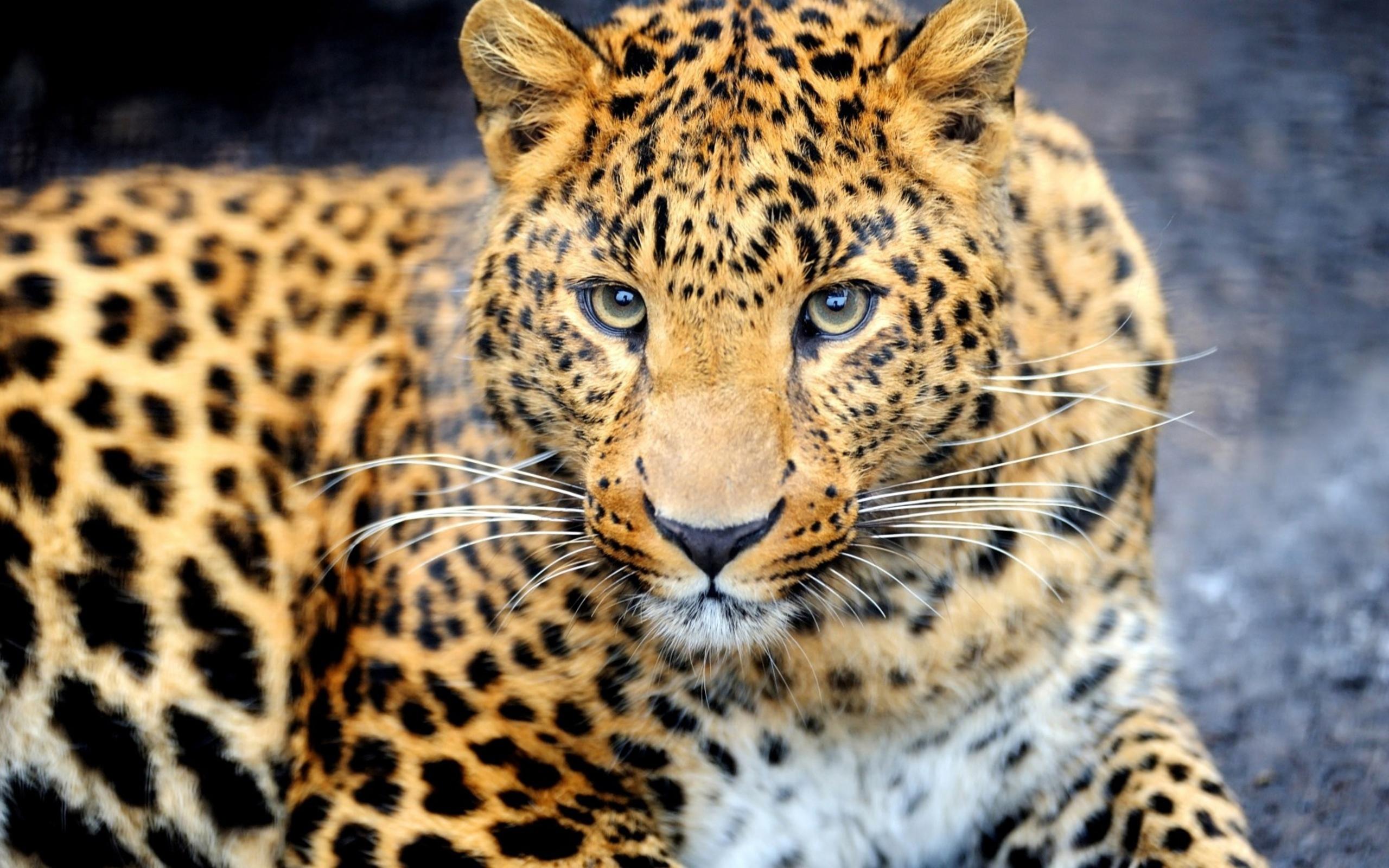 леопард фото животного красивый вниз