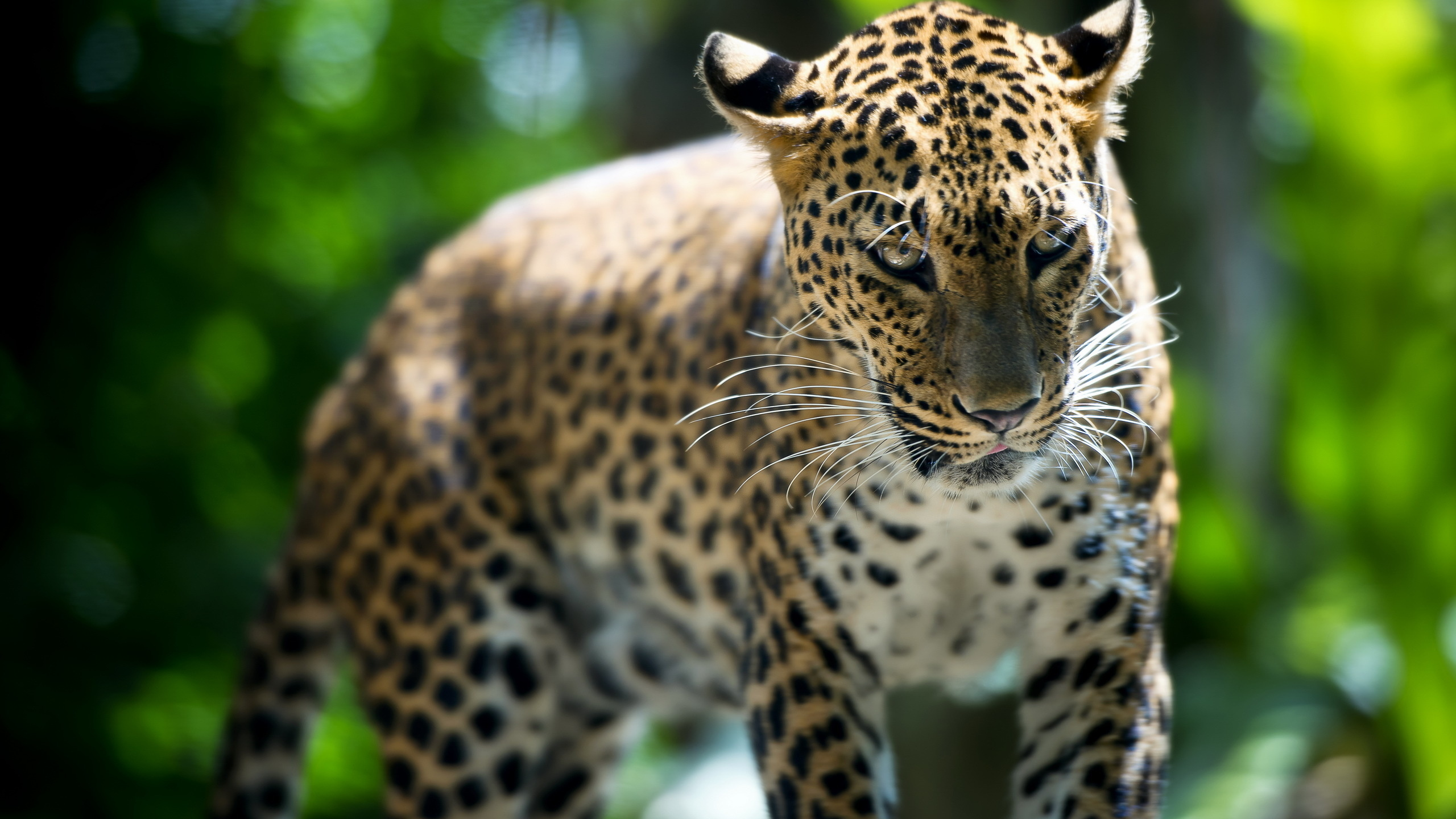 том, леопард фото животного красивый накануне