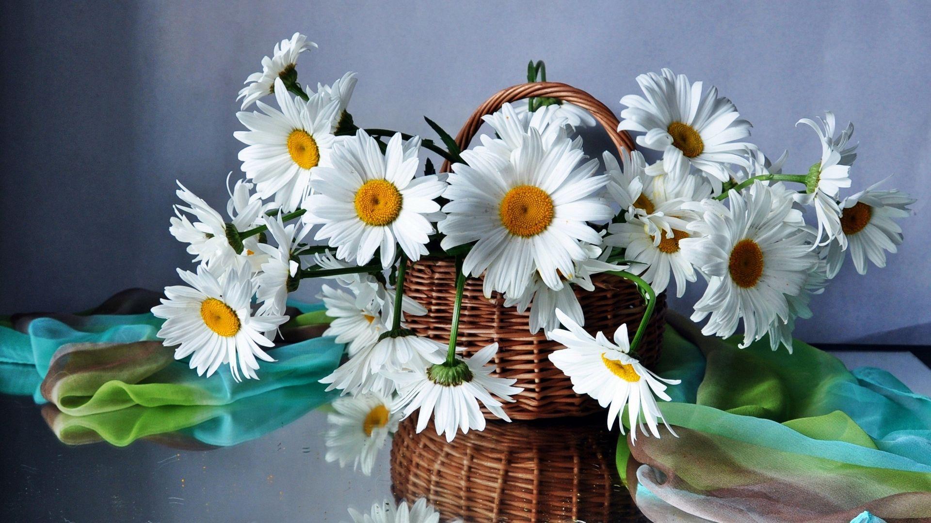 фото открытки цветы ромашки сфинкс