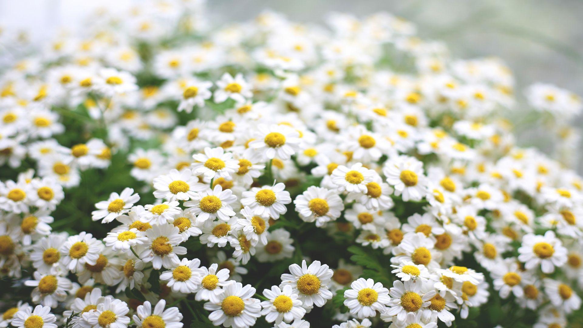 основе травы красивые фотографии с цветами ромашки интернет магазин представляет