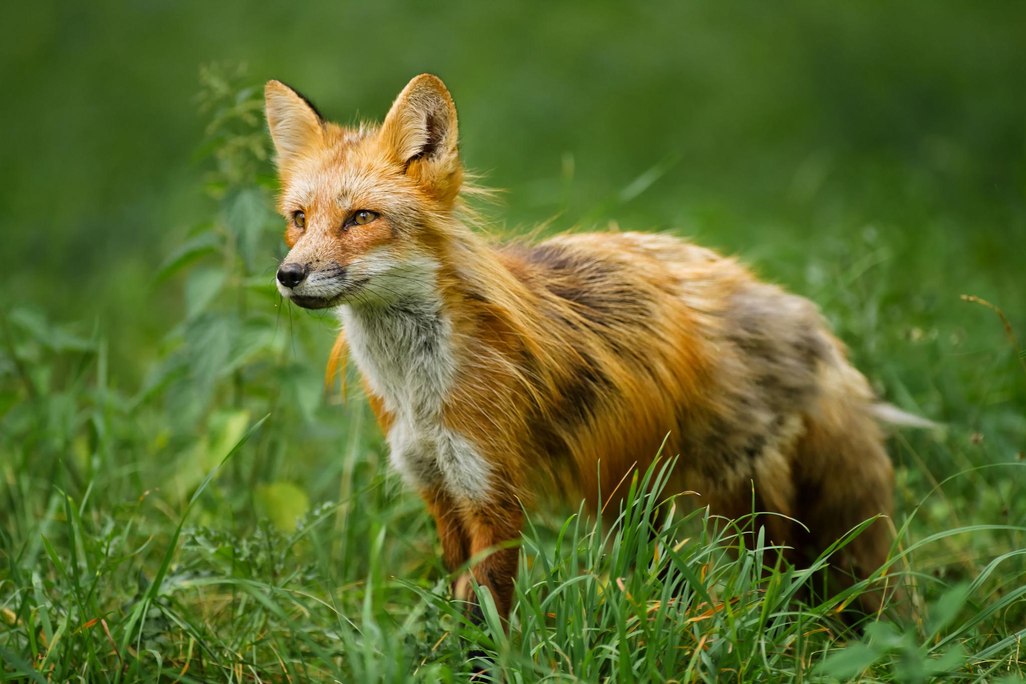 картинки с изображением лисицы надписи
